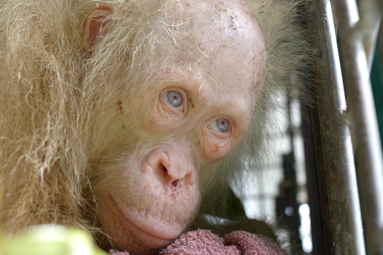 Visszatérhet a vadonba a világ egyetlen albínó orangutánja