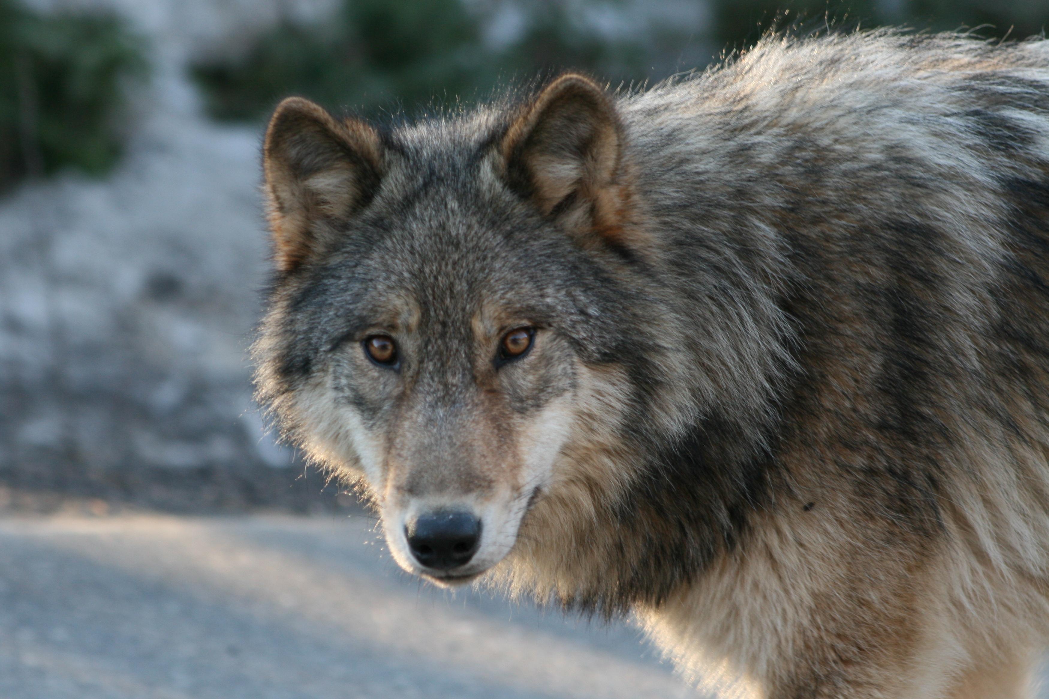 Farkas támadt két gyerekre Lengyelországban
