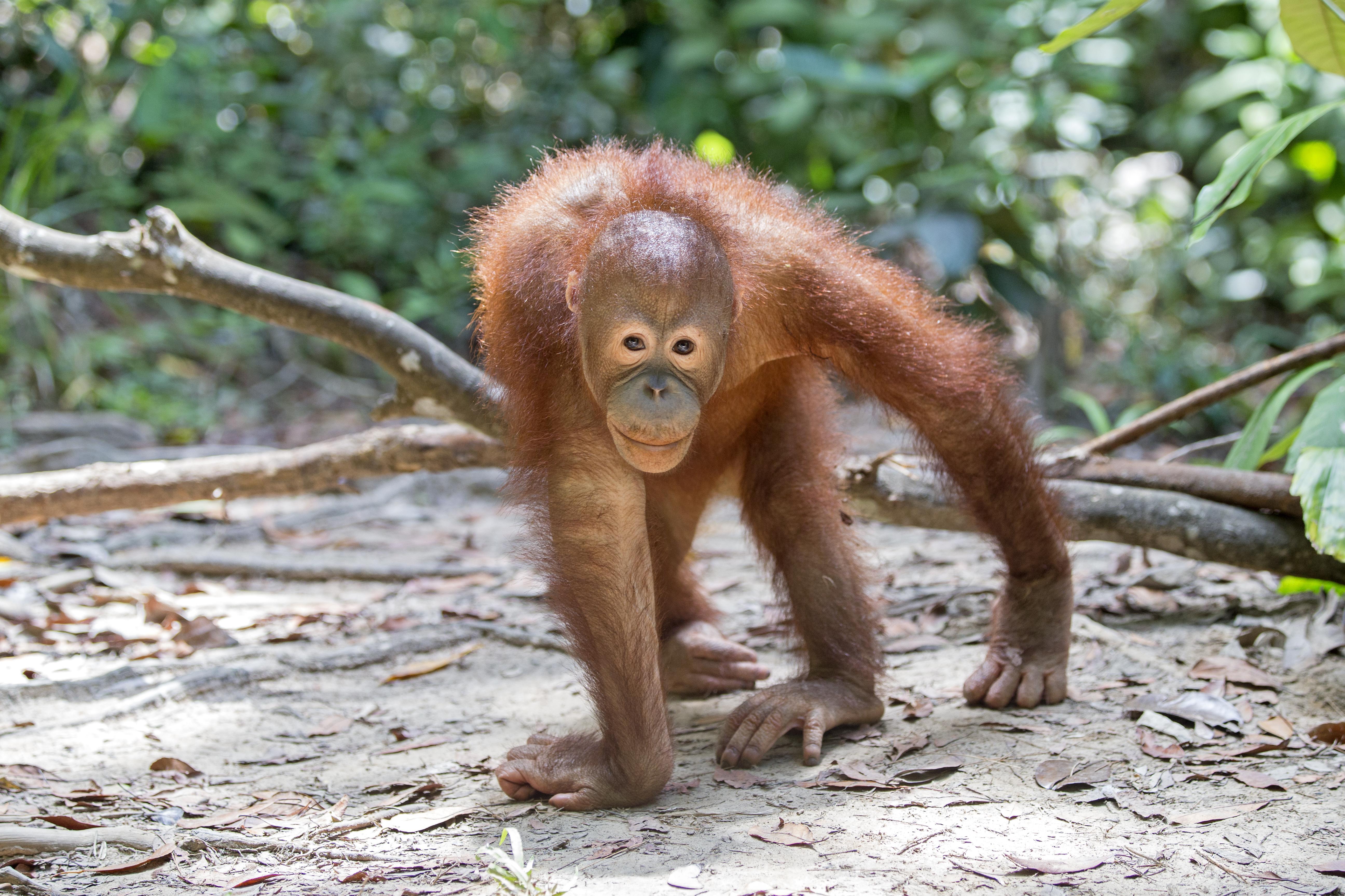 Mesterséges pálmaolaj mentheti meg az orángutánokat