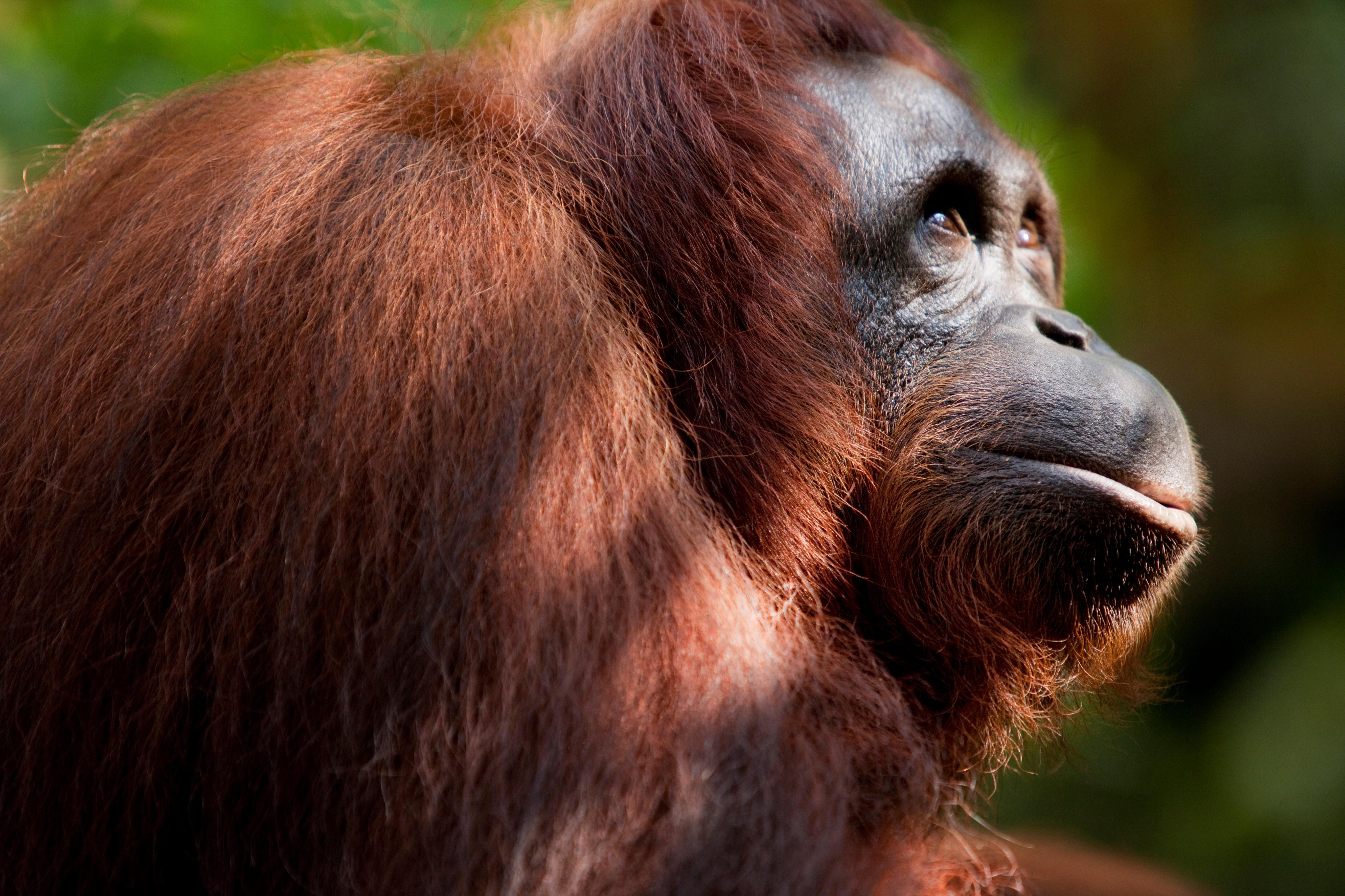 Százezer orangután tűnt el Borneóról az elmúlt 16 évben