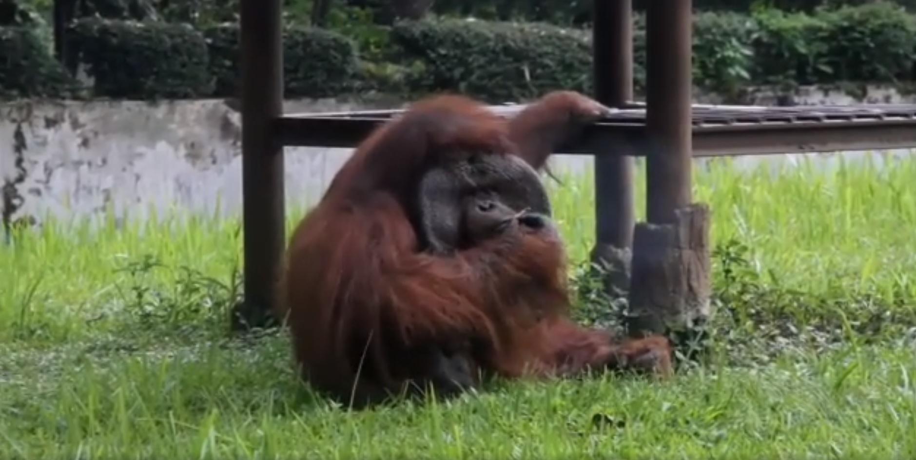 Egy férfi bedobta a cigijét az orangutánkifutóra Indonéziában, mire az állat felkapta és elszívta