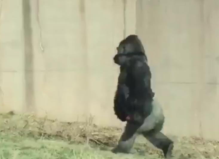 Nem akarta, hogy piszkos legyen a kajája, ezért felegyenesedett és két lábon járt Louis, a gorilla