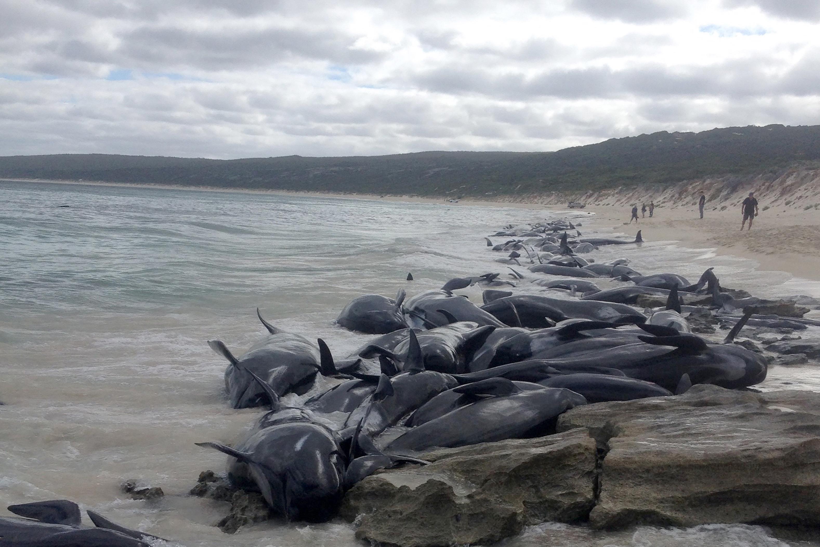 Ausztráliában több mint 150 cet vetődött partra, csak öt maradt életben