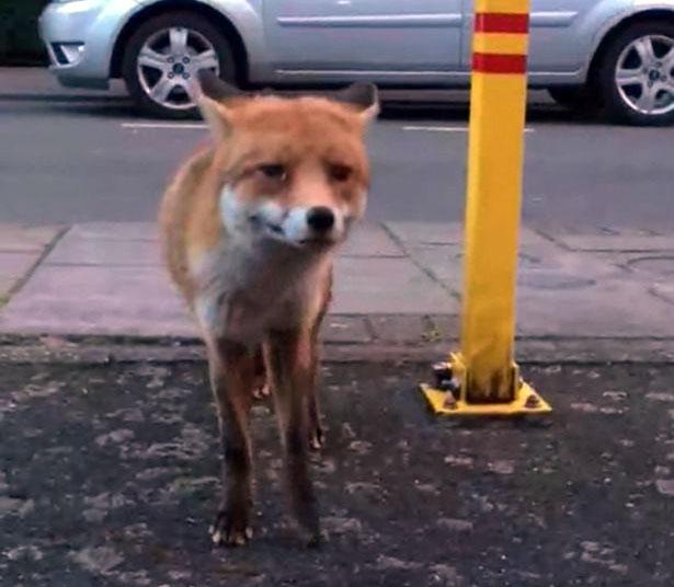 Pénztárcát lopott egy róka