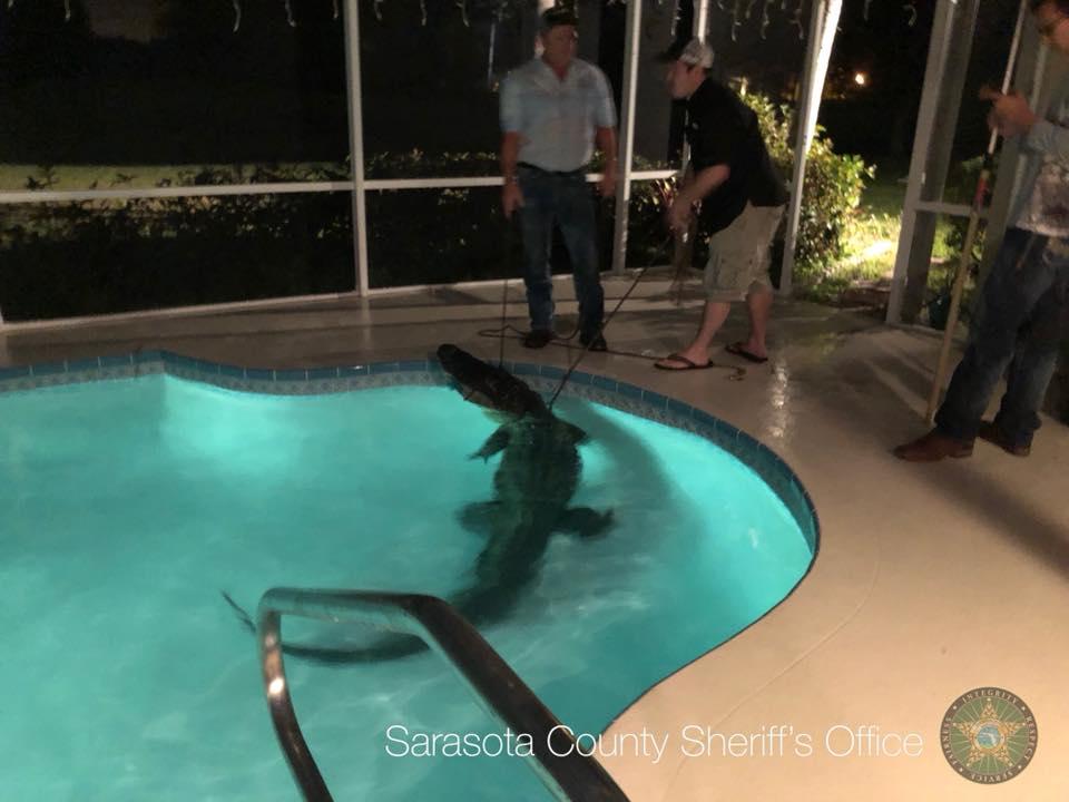Nem volt maradéktalanul boldog a floridai család, amelyiknek egy hatalmas aligátor költözött a medencéjébe
