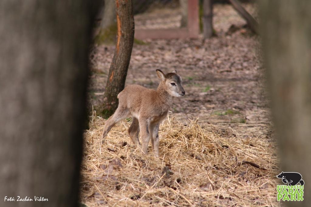 Ha már elege van a választásból: kismuflonok születtek a Budakeszi Vadasparkban