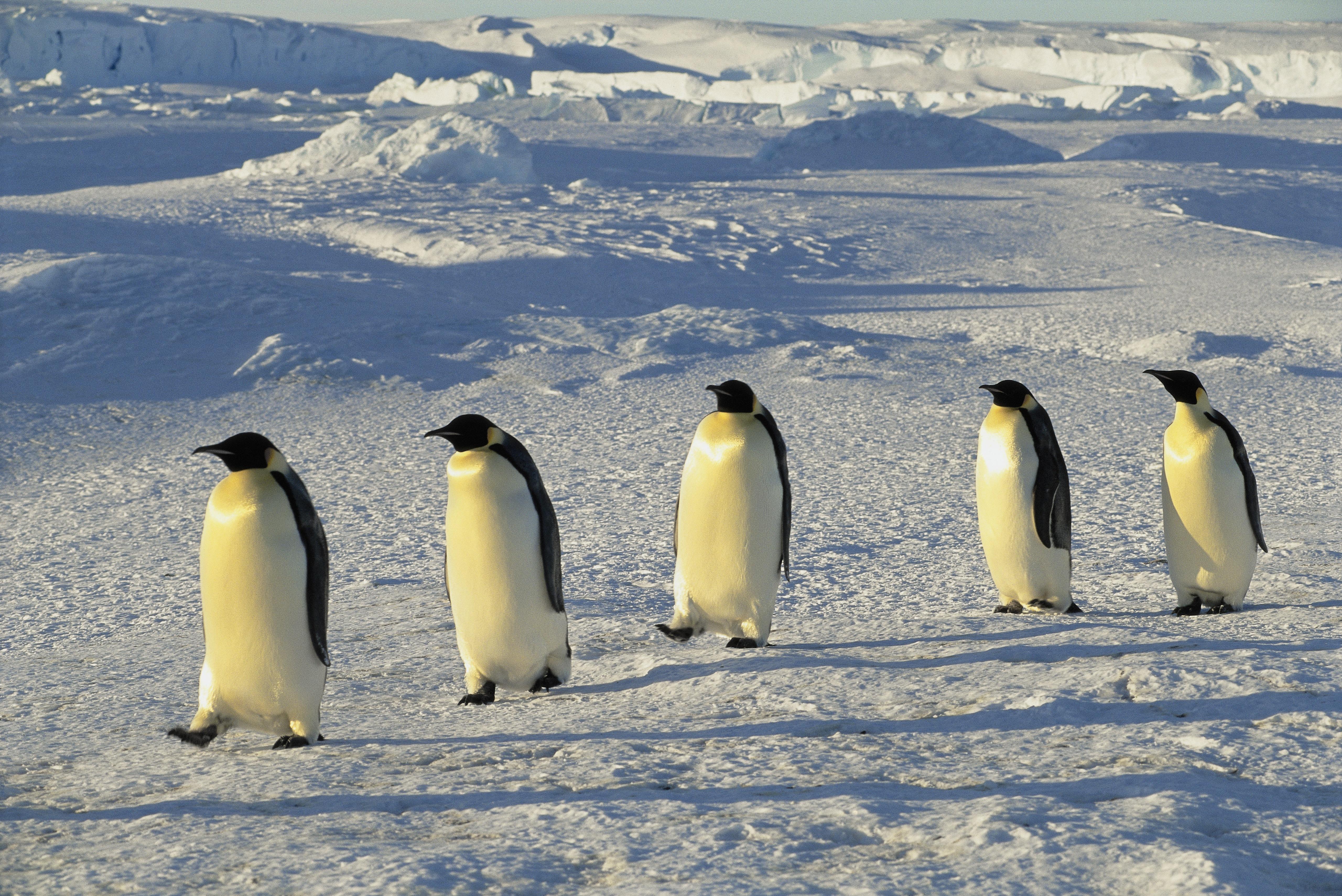 Az űrből látható pingvinürülékből jöttek rá, vannak még felfedezetlen kolóniák