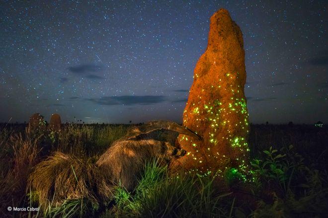 Kitömött hangyászról készített fényképpel nyert természetfotós versenyt, utólag kellett kizárni a fotóst