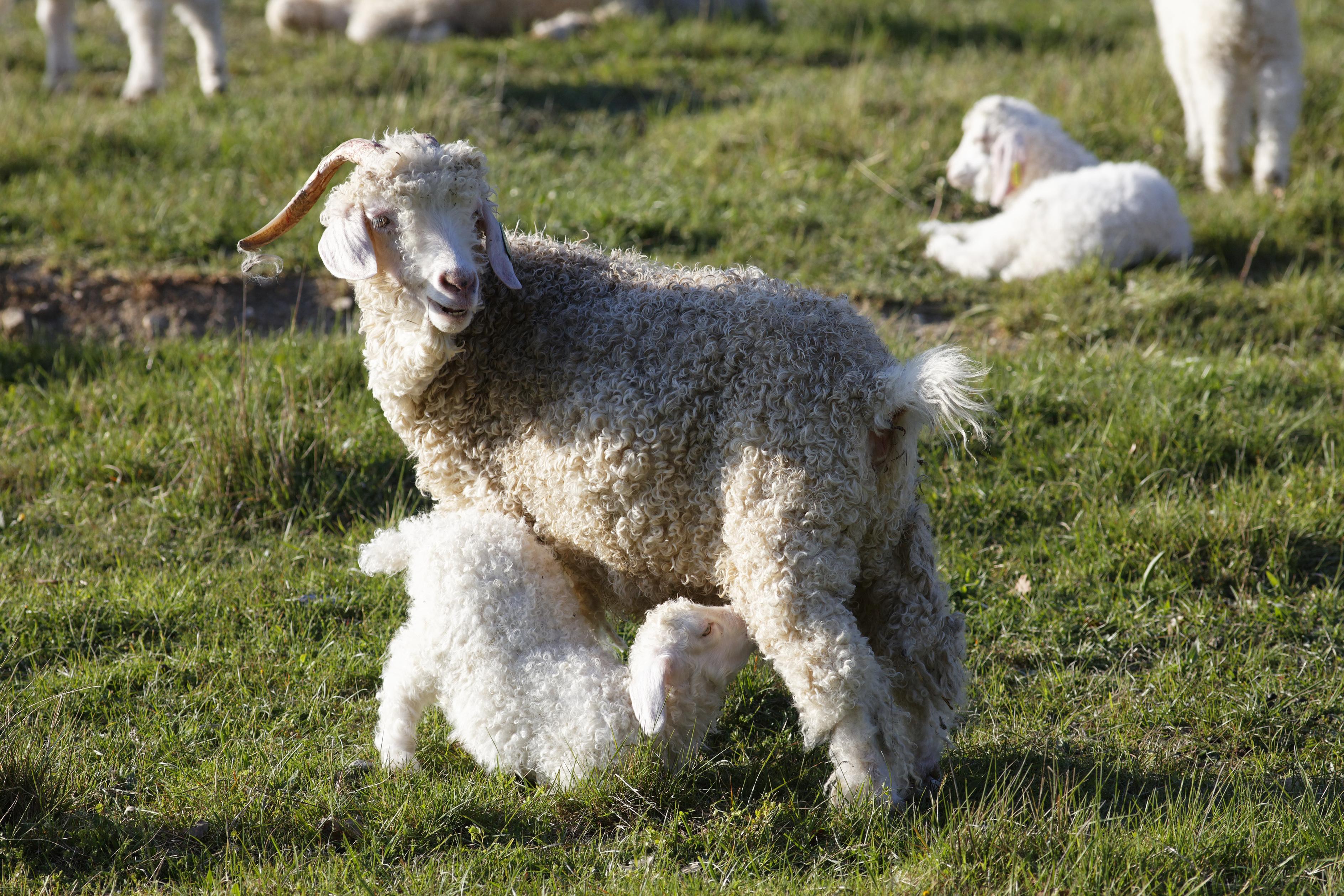 A legnagyobb divatcégek bojkottálják a mohergyapjút, miután végignézték, hogyan kínozzák a farmerek a kecskéket