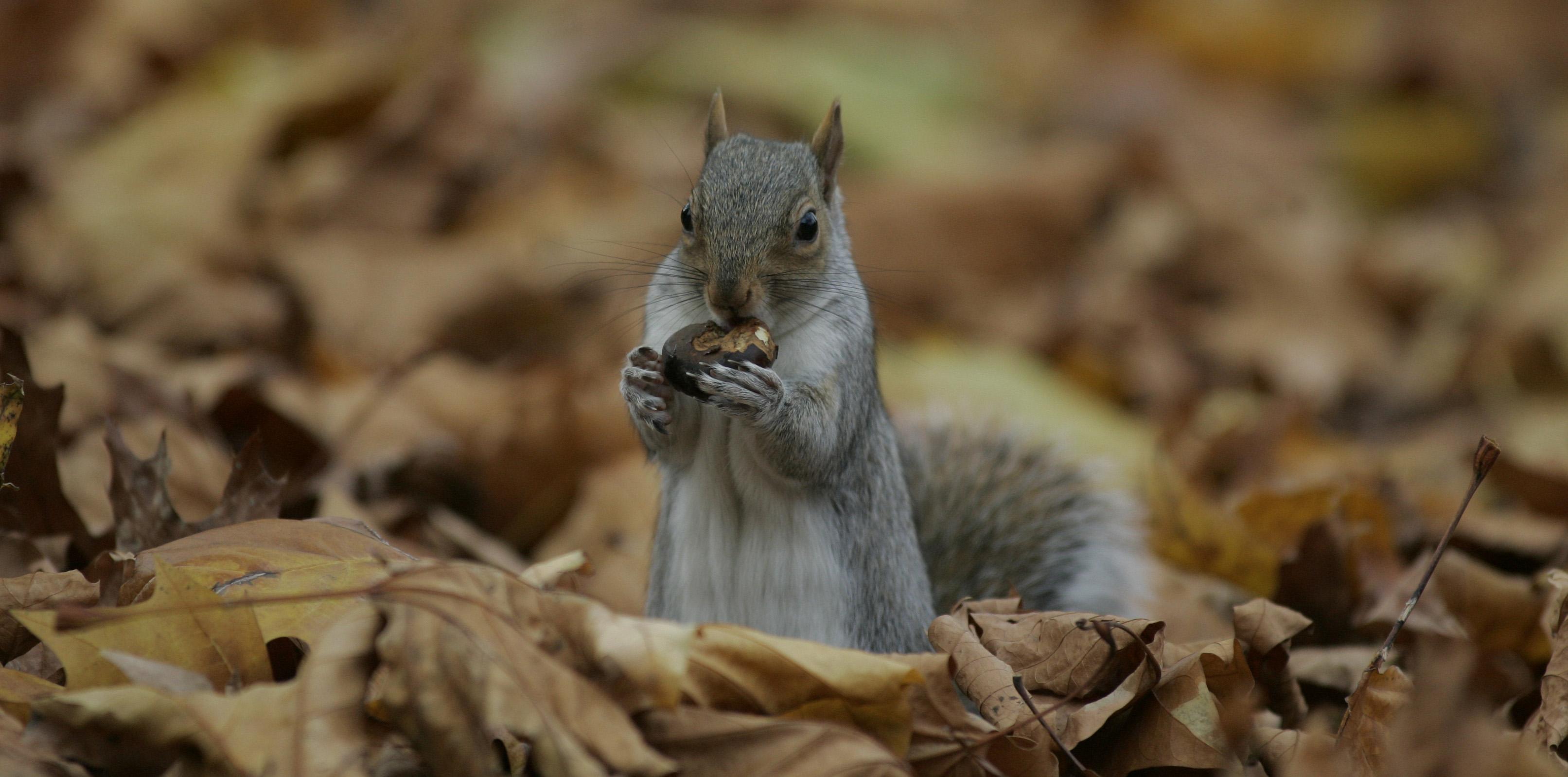 Több tízmilliárd forintnyi magot lopnak évente a szürke mókusok Nagy-Britanniában