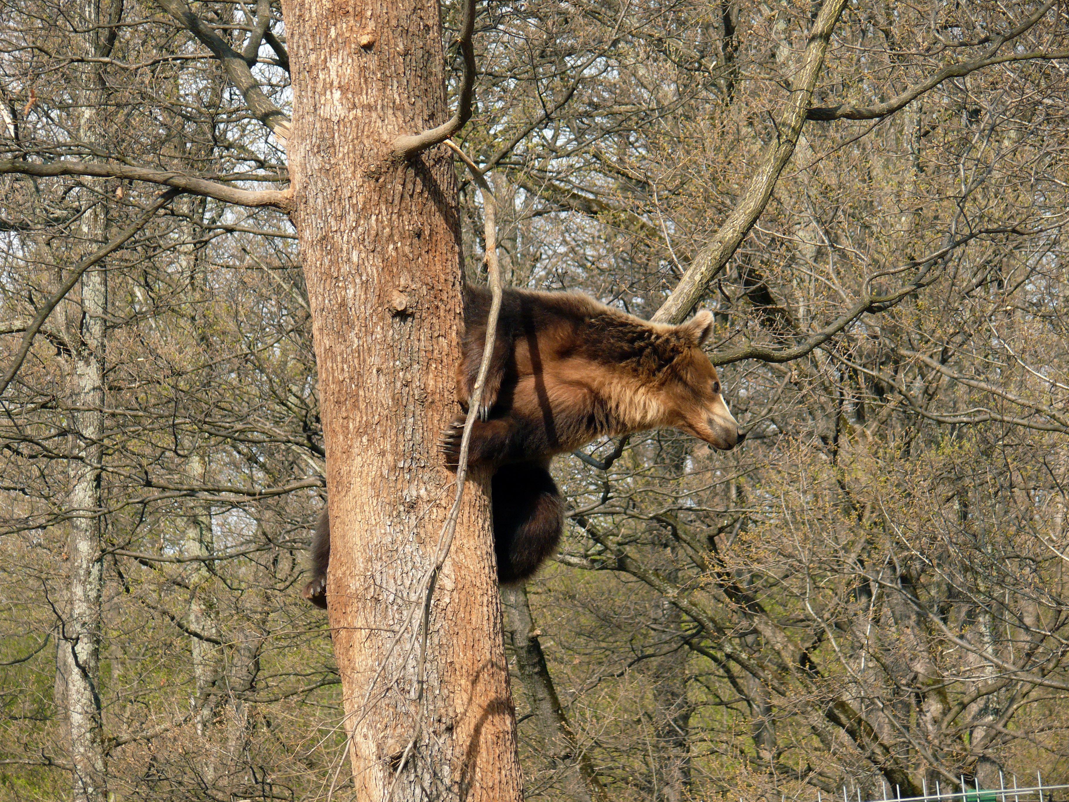 Megszavazták, hogy több medvét lehessen kilőni Romániában