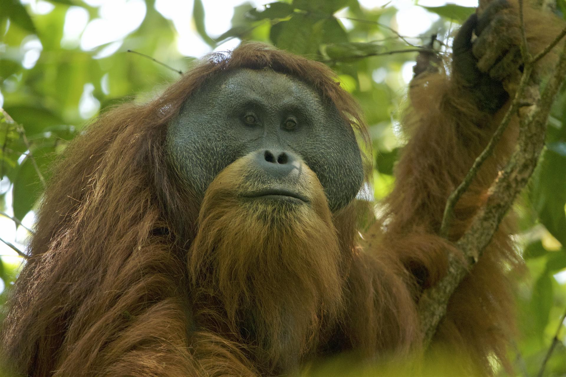 Kihalás fenyegeti a legritkább orangutánfajt