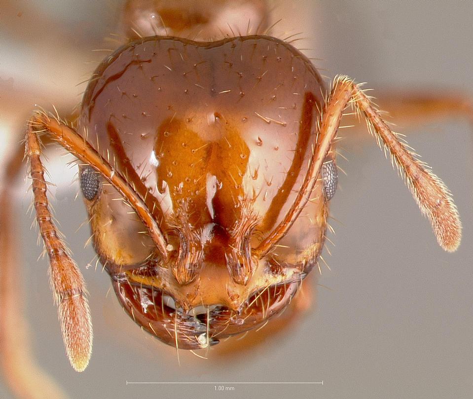 Migráns hangyák fenyegetik az ausztrál életformát