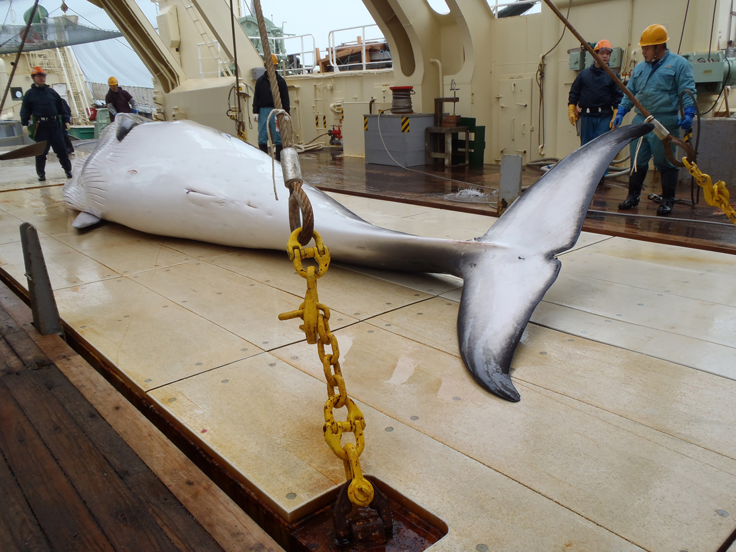"""Japán bálnavadászok indultak az Antarktiszhoz, hogy """"tudományos"""" célból kifogjanak 333 bálnát"""