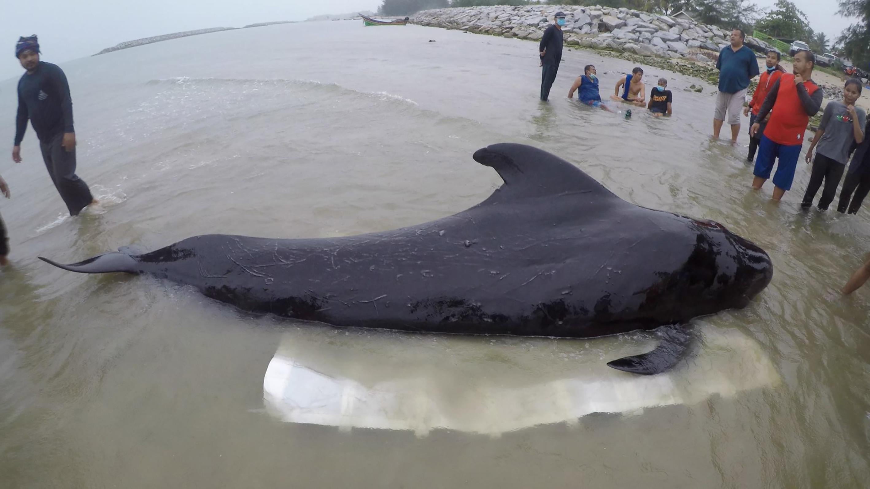 80 műanyag zacskót nyelt, elpusztult egy gömbölyűfejű-delfin a thai partoknál