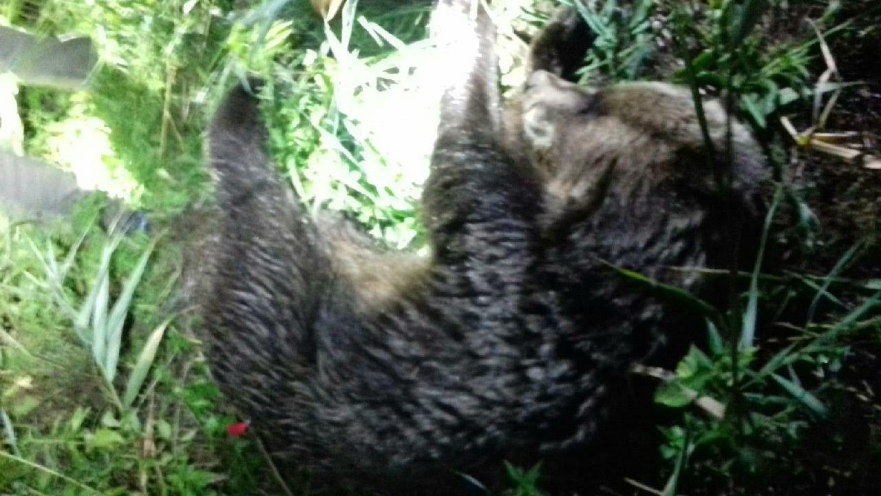 Elkapták a szökésben lévő medvét