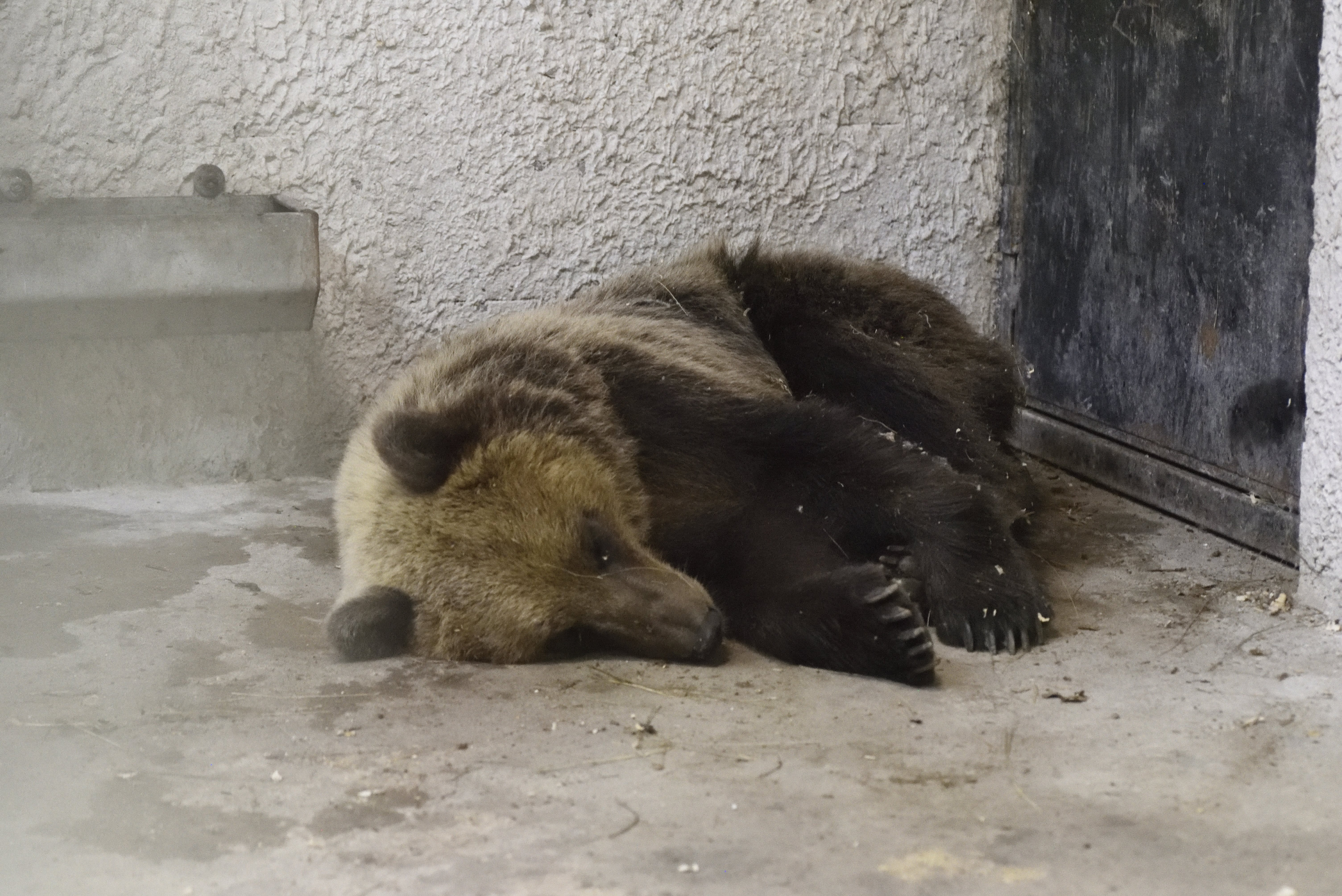 E-mailben küldi, hogy merre jár az országjáró medve