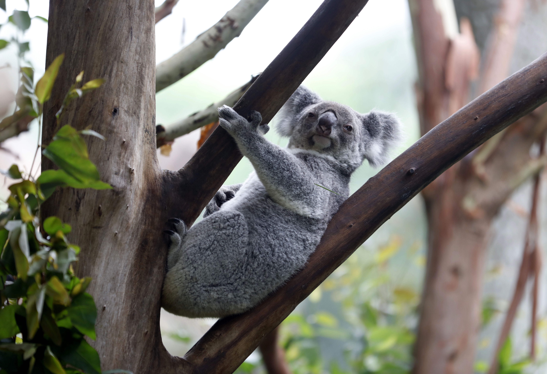 Szarátültetés mentheti meg a kihalástól a koalákat
