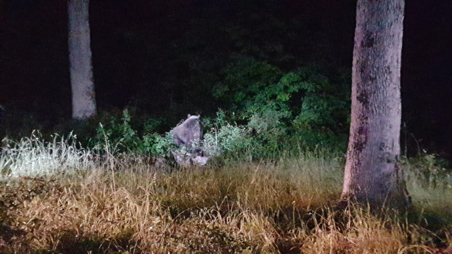 Szabadon engedték az országjáró medvét a szlovák-magyar határ közelében