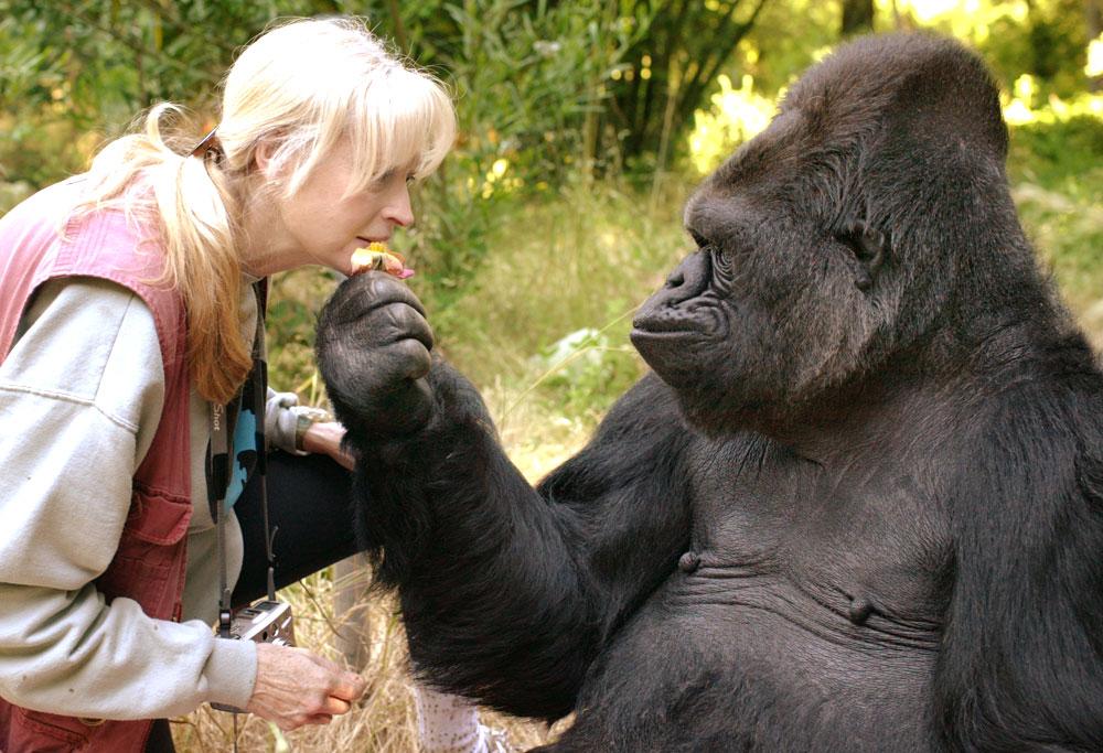 Elpusztult Koko, a jelelő gorilla