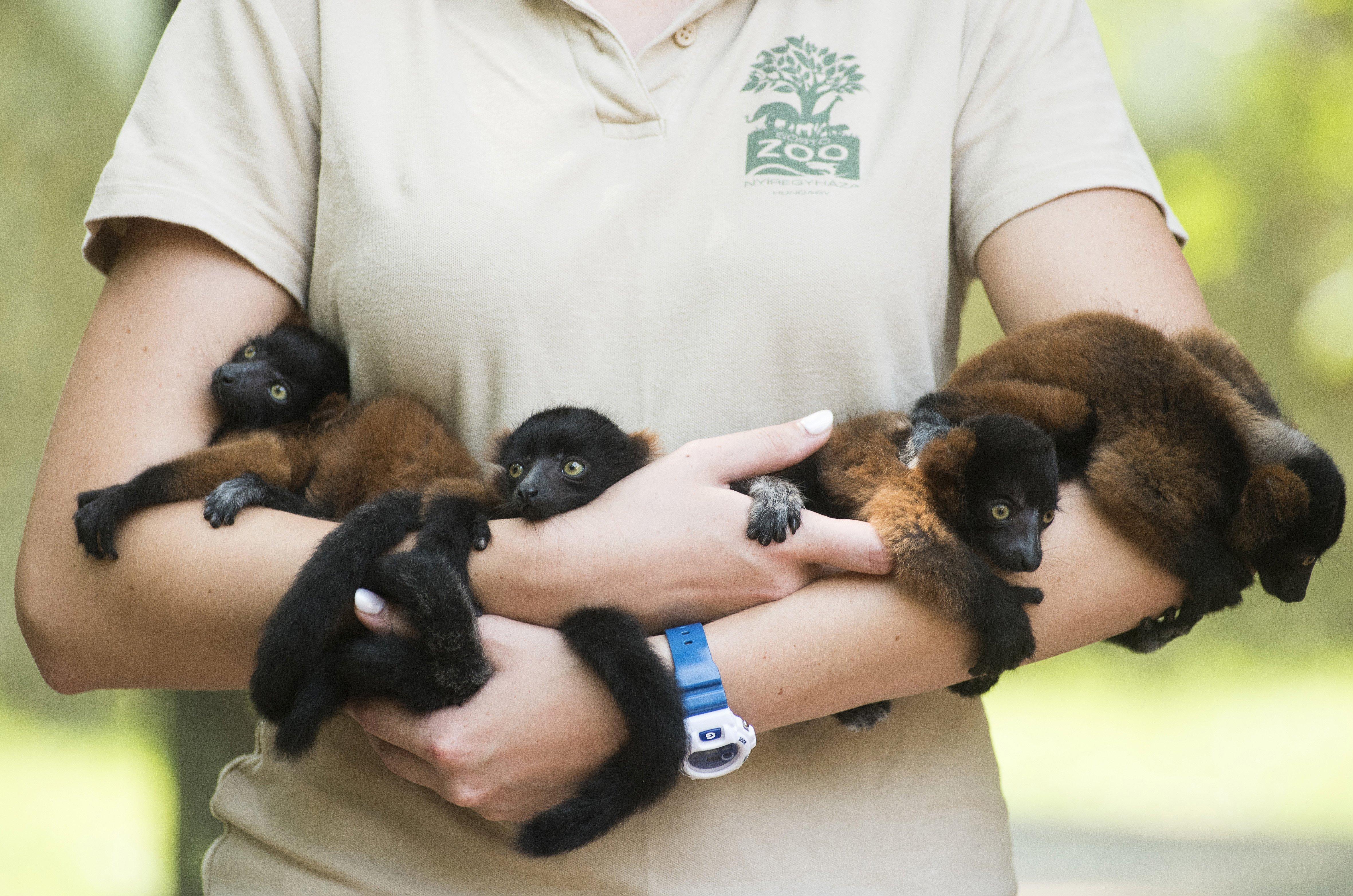 Bemutatták a Nyíregyházi Állatpark 6 hetes vörösvari-kölykeit