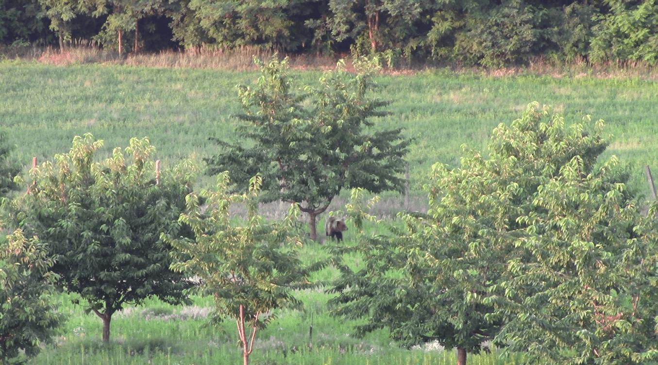 A Bükki Nemzeti Park szakértői nem javasolják, hogy bárki üldözni kezdjen egy barnamedvét