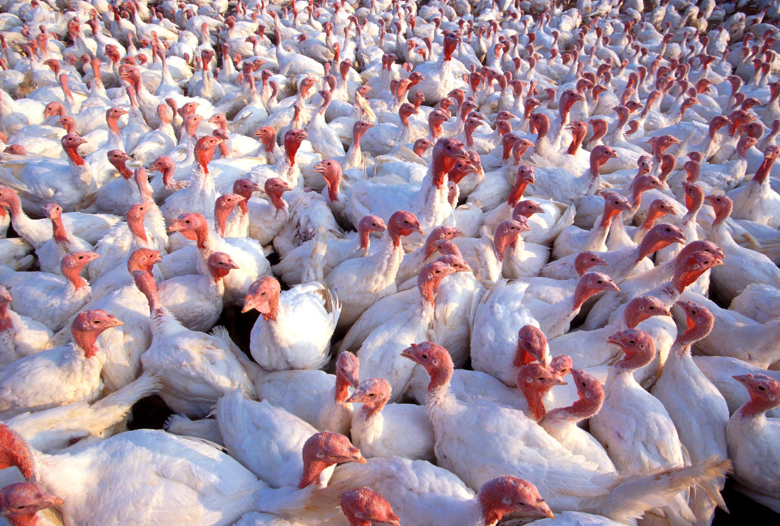 Embert fertőzött meg a H5N8 madárinfluenza