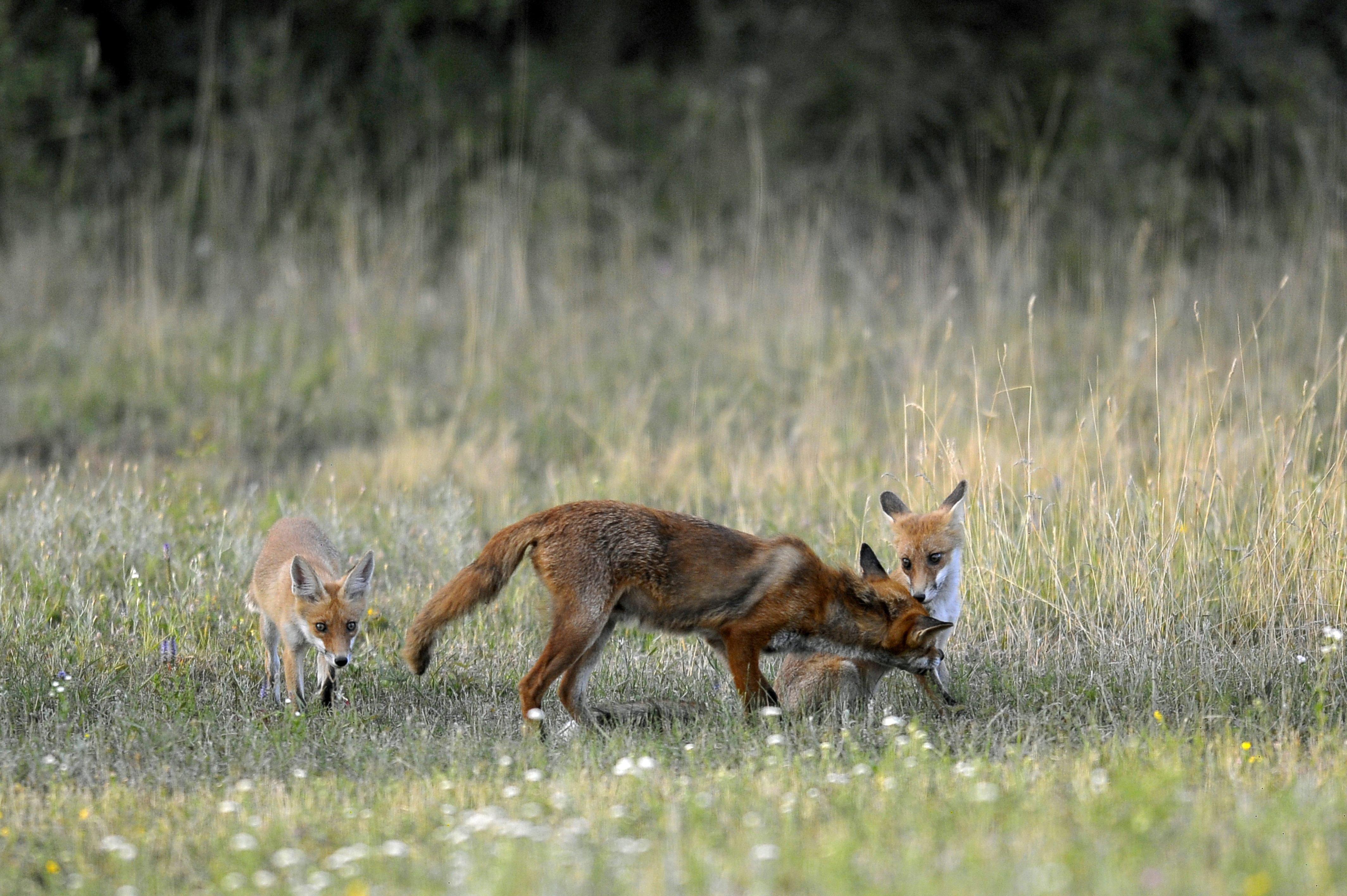 Indul a rókák tömeges vakcinázása