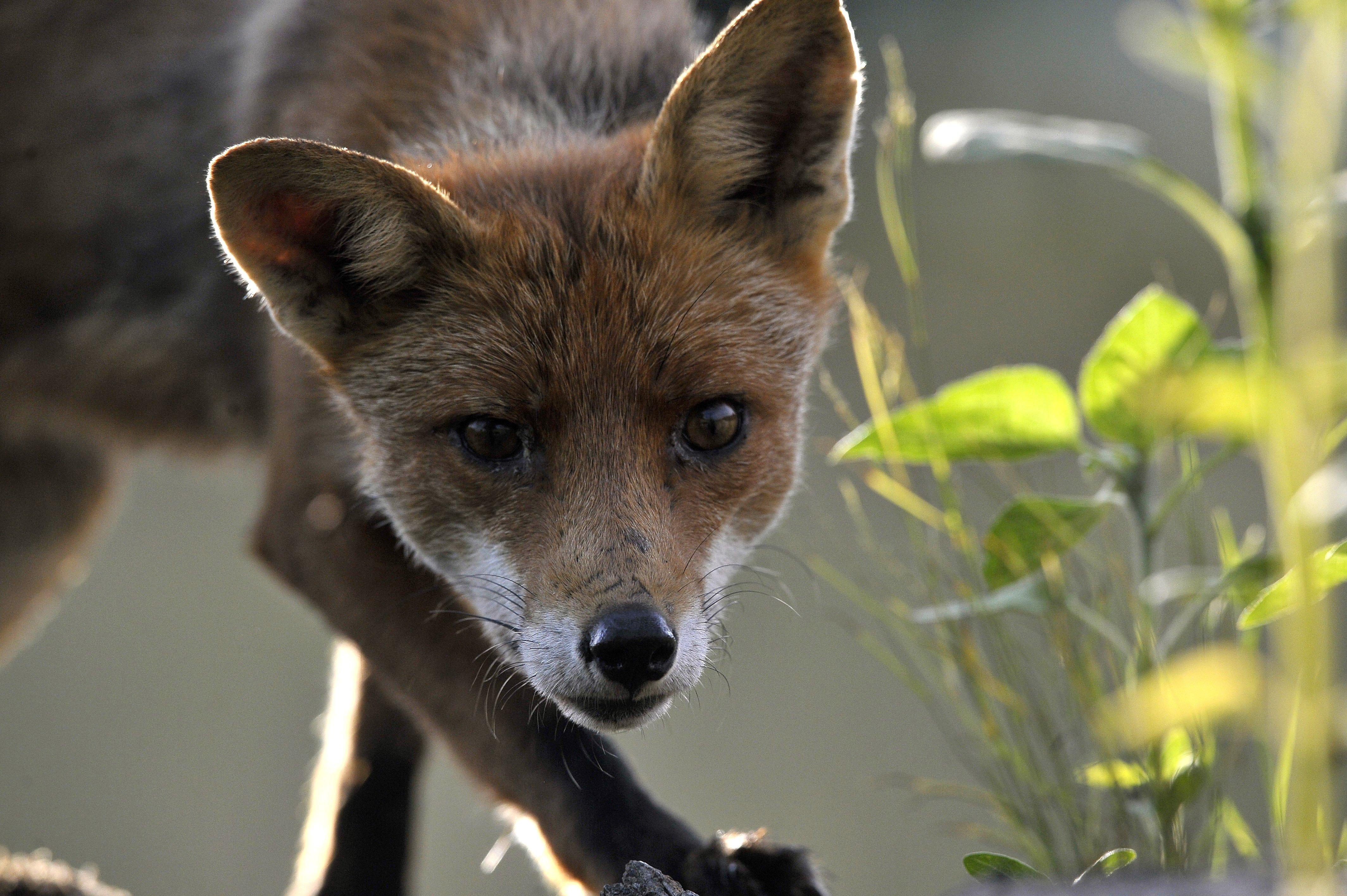 Indul a rókák veszettség elleni vakcinázása