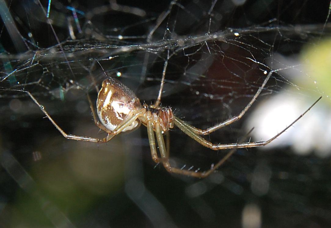 Az elektromosság segítségével repkedhetnek óriási távolságokra egyes pókfajták