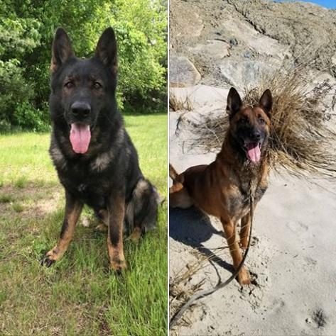 Aki szeretne olyan kutyát, ami bárhol megtalálja a lakásban elrejtett drogokat vagy emberi maradványokat, most jelentkezzen a massachusetts-i rendőrségen