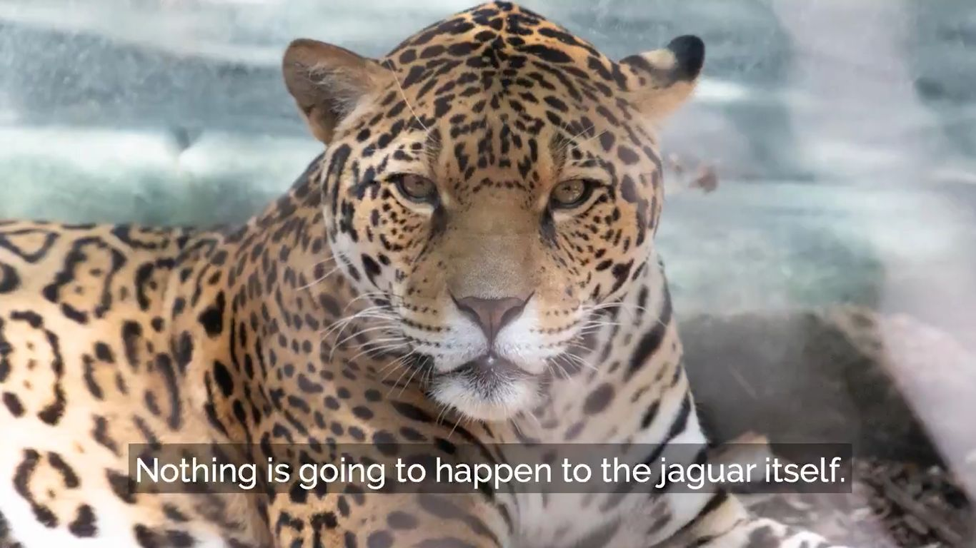 Az acélkábelek elrágásával szökhetett meg a ketrecéből a New Orleans-i állatkert 9 állatával végző jaguár