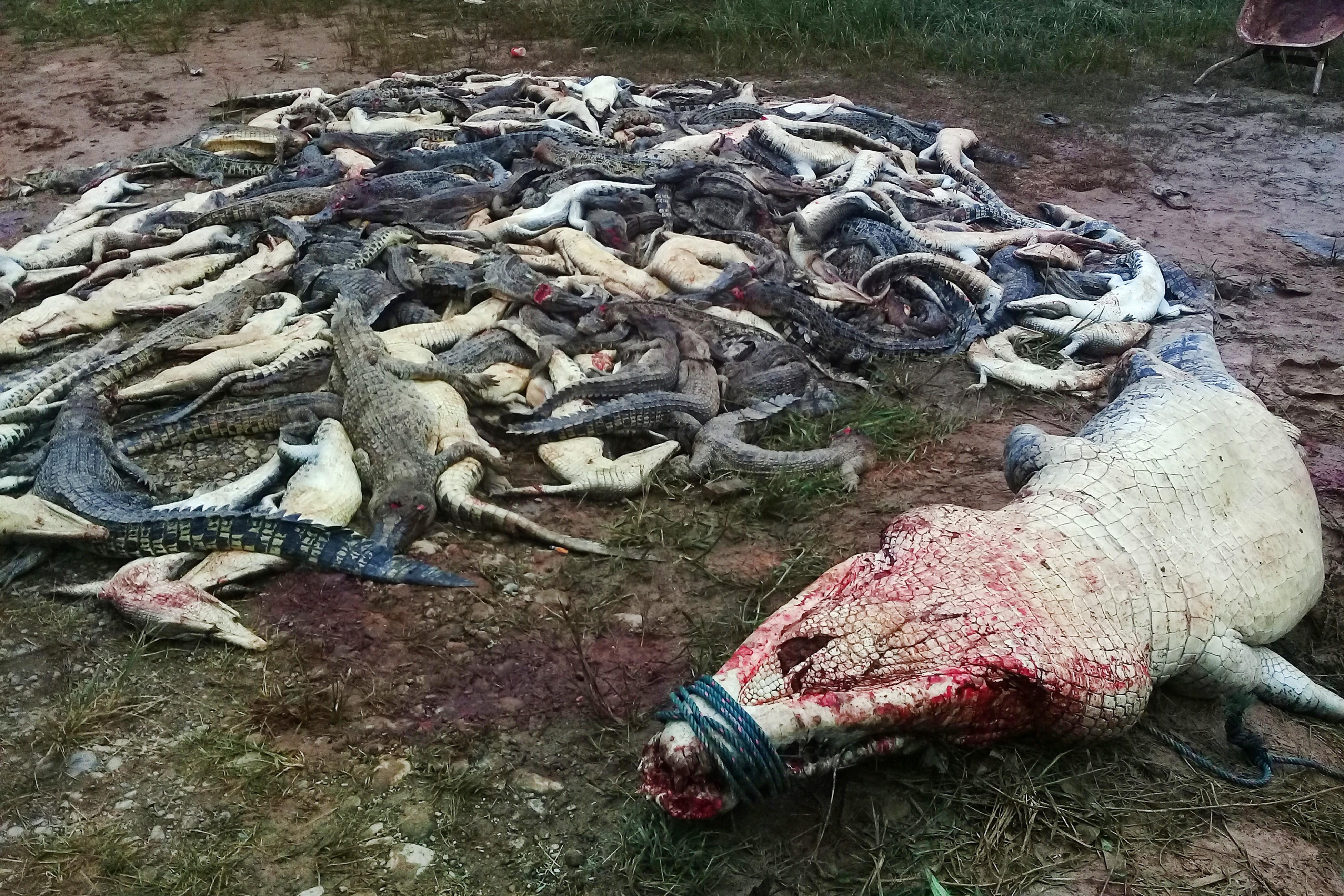 Háromszáz krokodilt mészároltak le falusiak egy indonéz krokodilfarmon