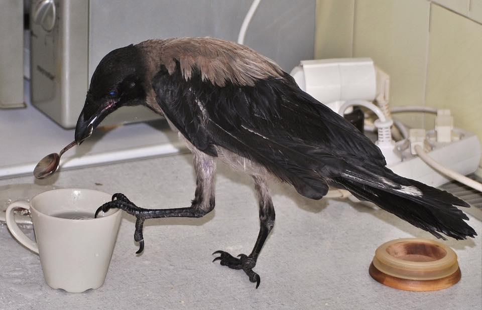 Eltűnt Kőbányáról Liposzóma, a szelíd dolmányos varjú