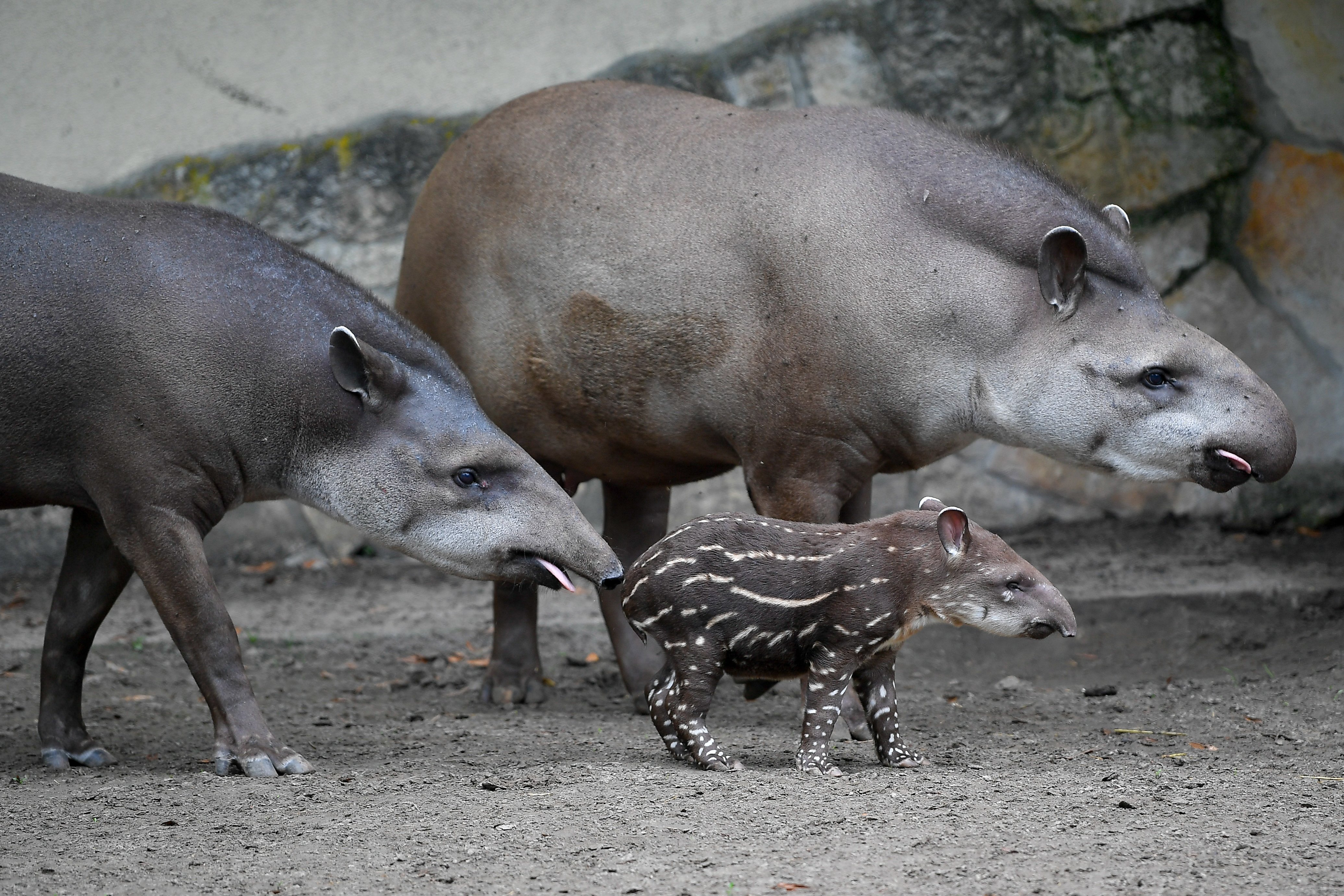 Még csak 3 napos, de már bemutatták a debreceni állatkert új tapírkölykét
