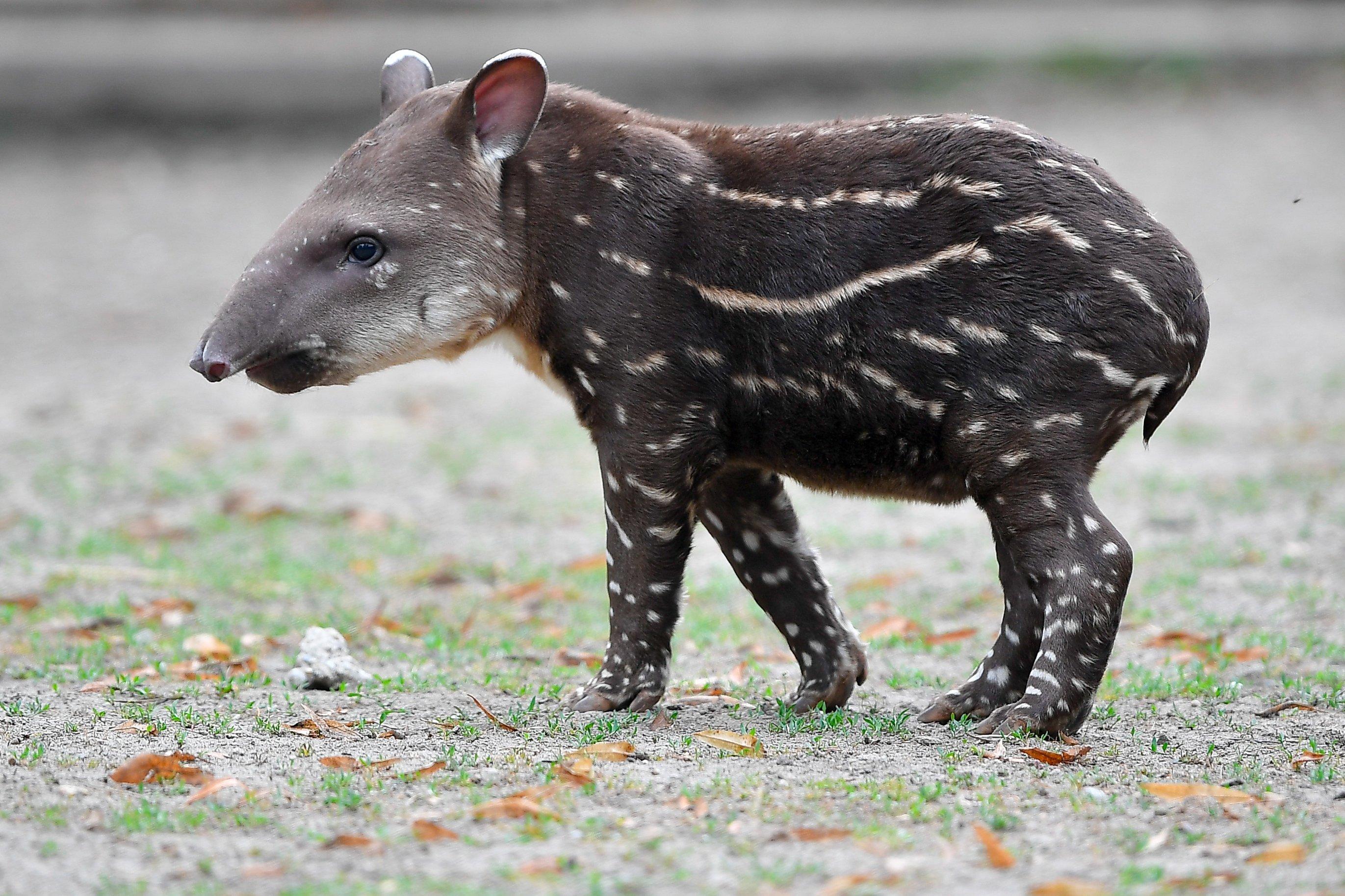 Meghalt a budapesti állatkert tapírborja