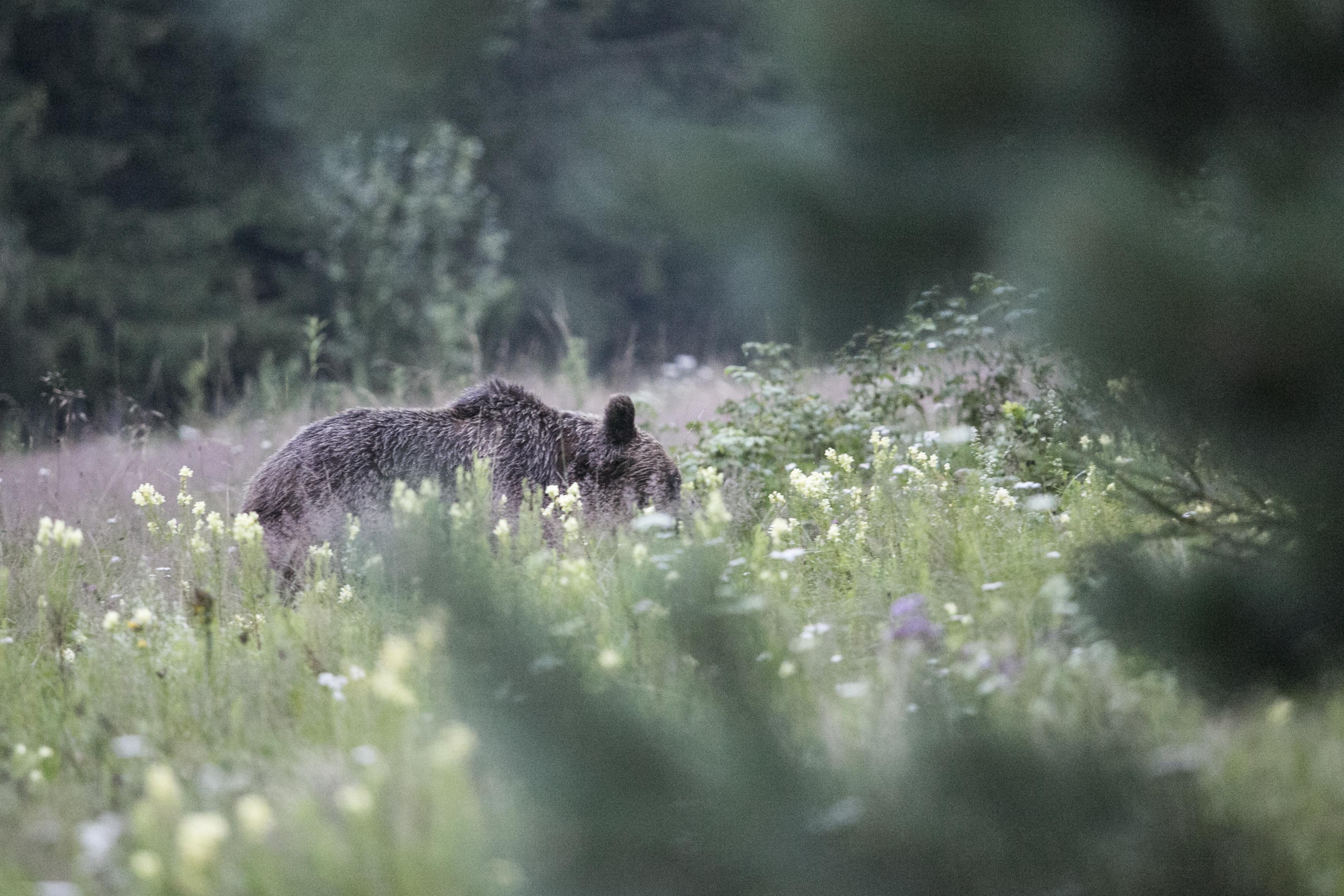 Újabb veszélyes medvét lőttek ki Tusnádfürdő határában
