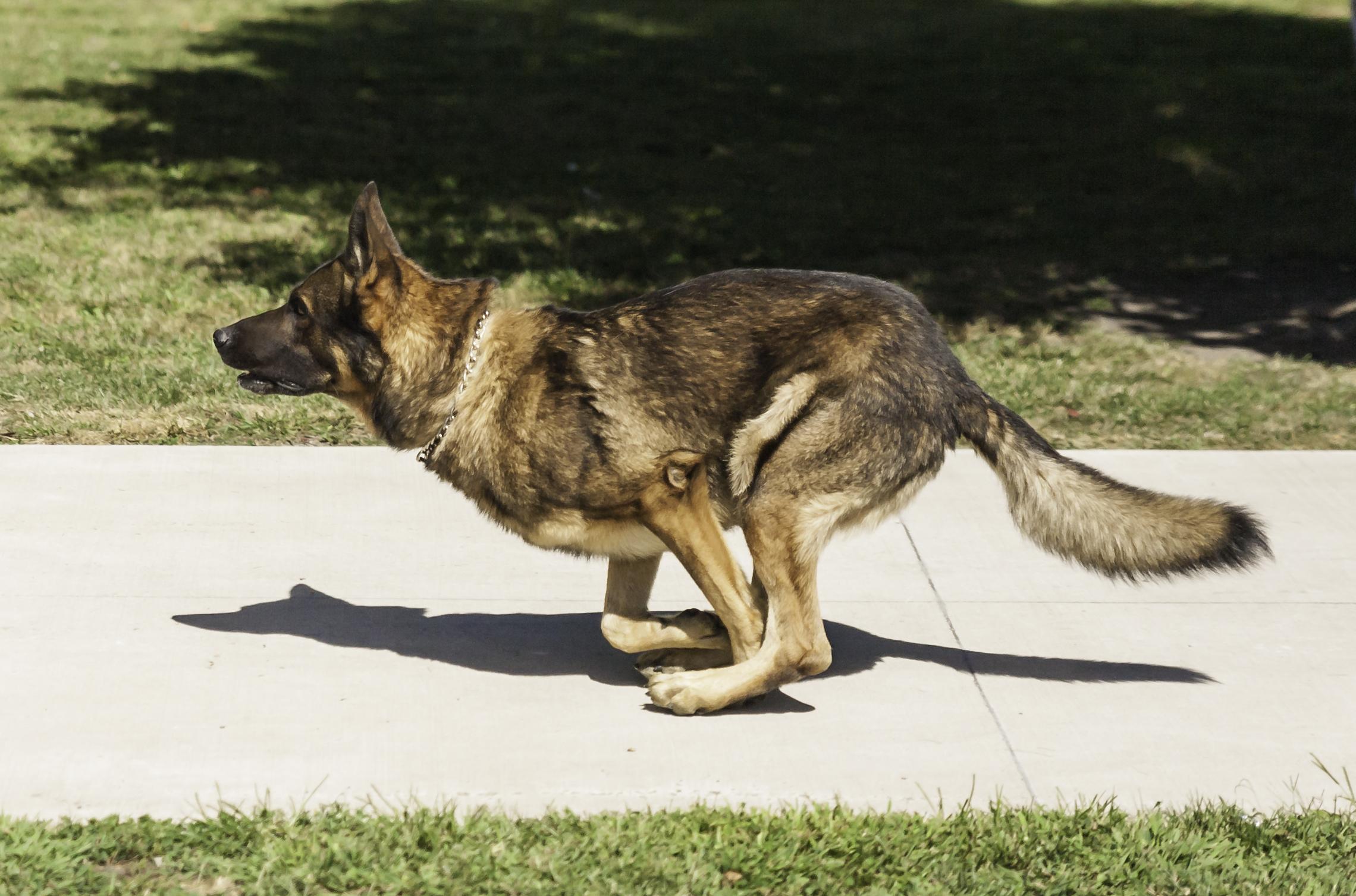 70 000 dolláros vérdíjat tűzött ki a kartell Kolumbia legjobb drogkereső kutyájára