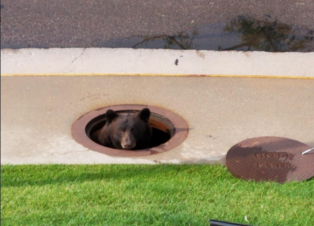 A csatornába szorult egy medve Coloradóban