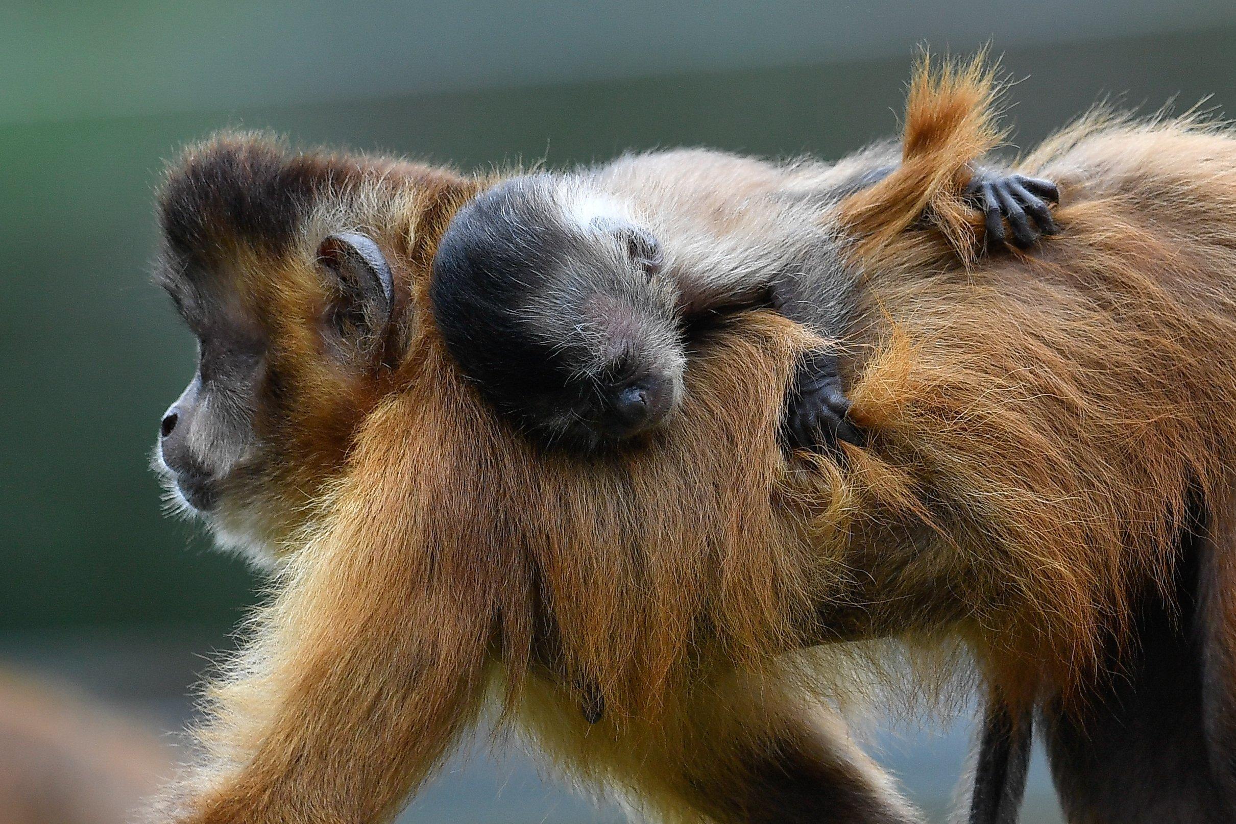 9 hónapig fog az anyján csimpaszkodni a debreceni állatkert új apella csuklyásmajma