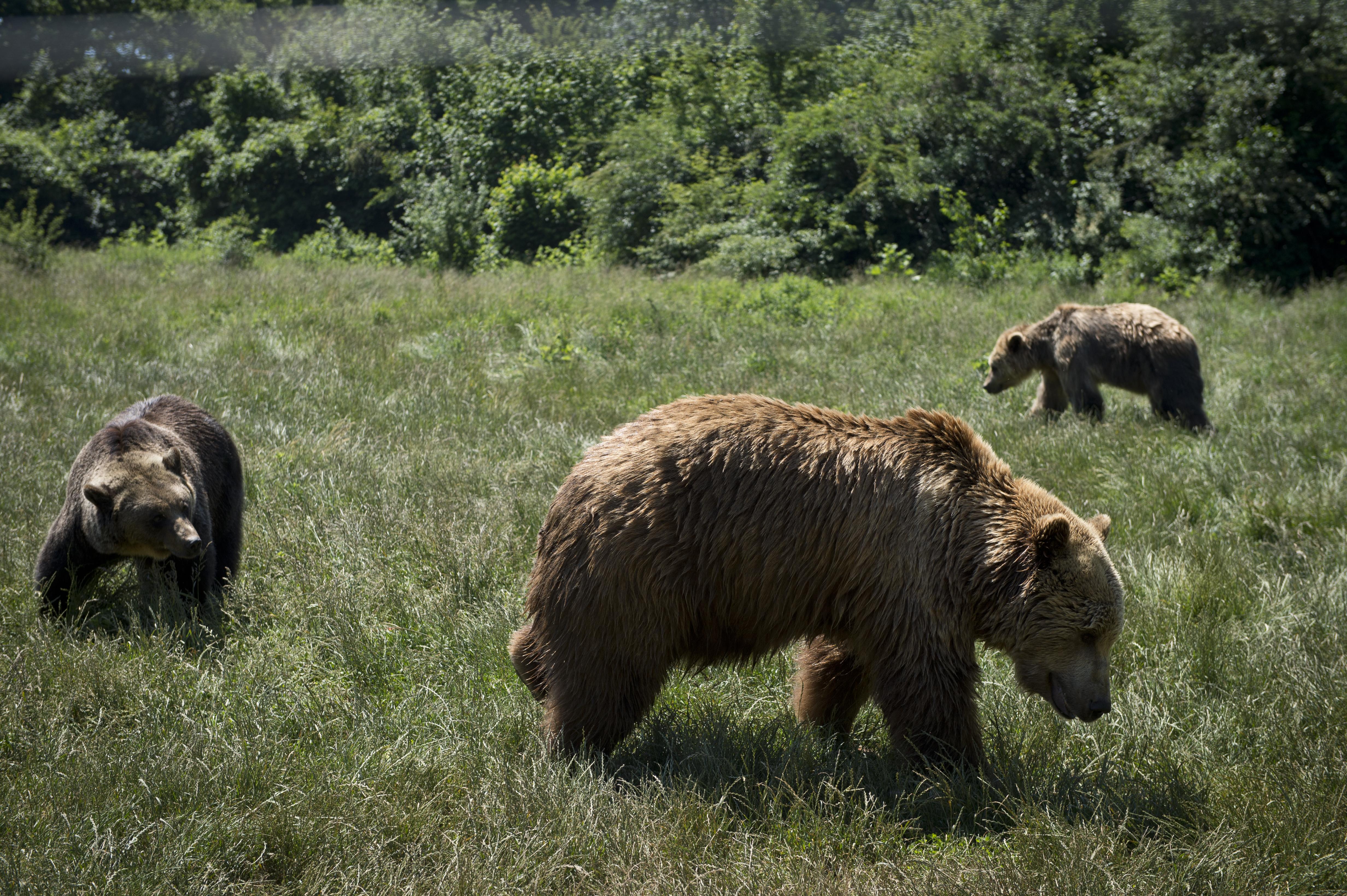 Egy lakossági bejelentés szerint medvéket láttak a Normafánál