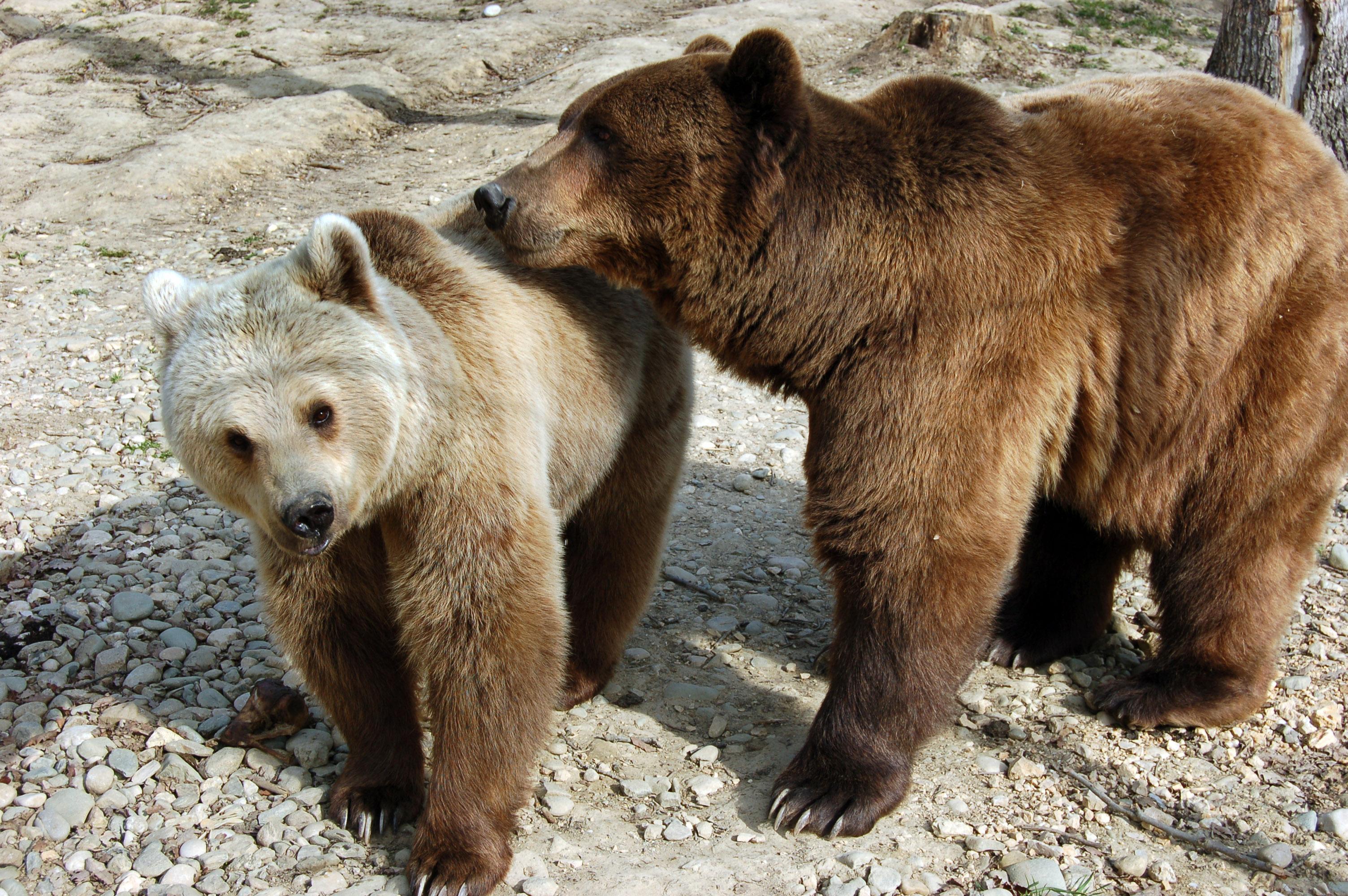 Megjött a bukaresti engedély, két medvét kilőnek Tusnádfürdőn