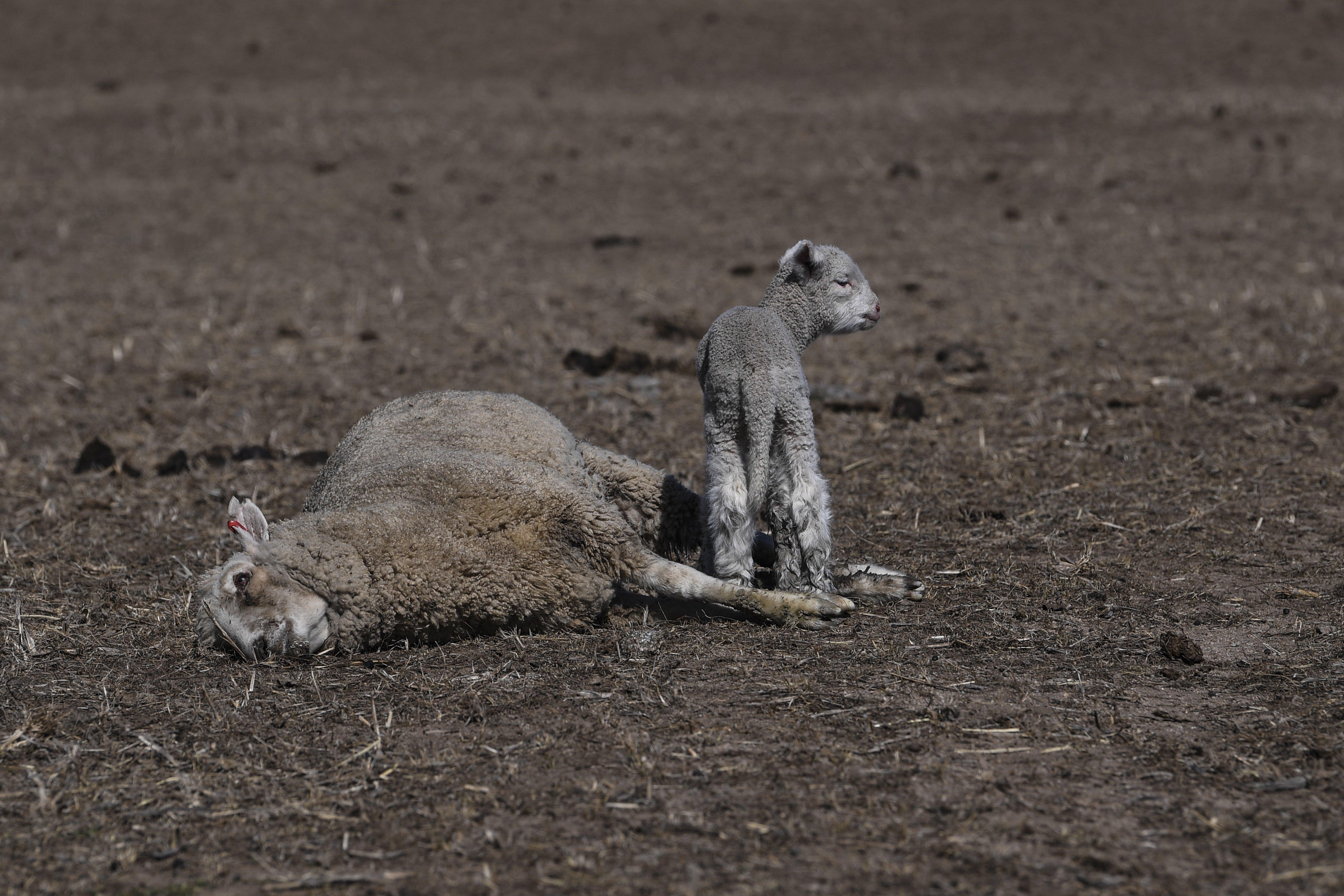 A szárazság miatt elpusztult anyja teteme mellett áll egy kis bárány Ausztráliában