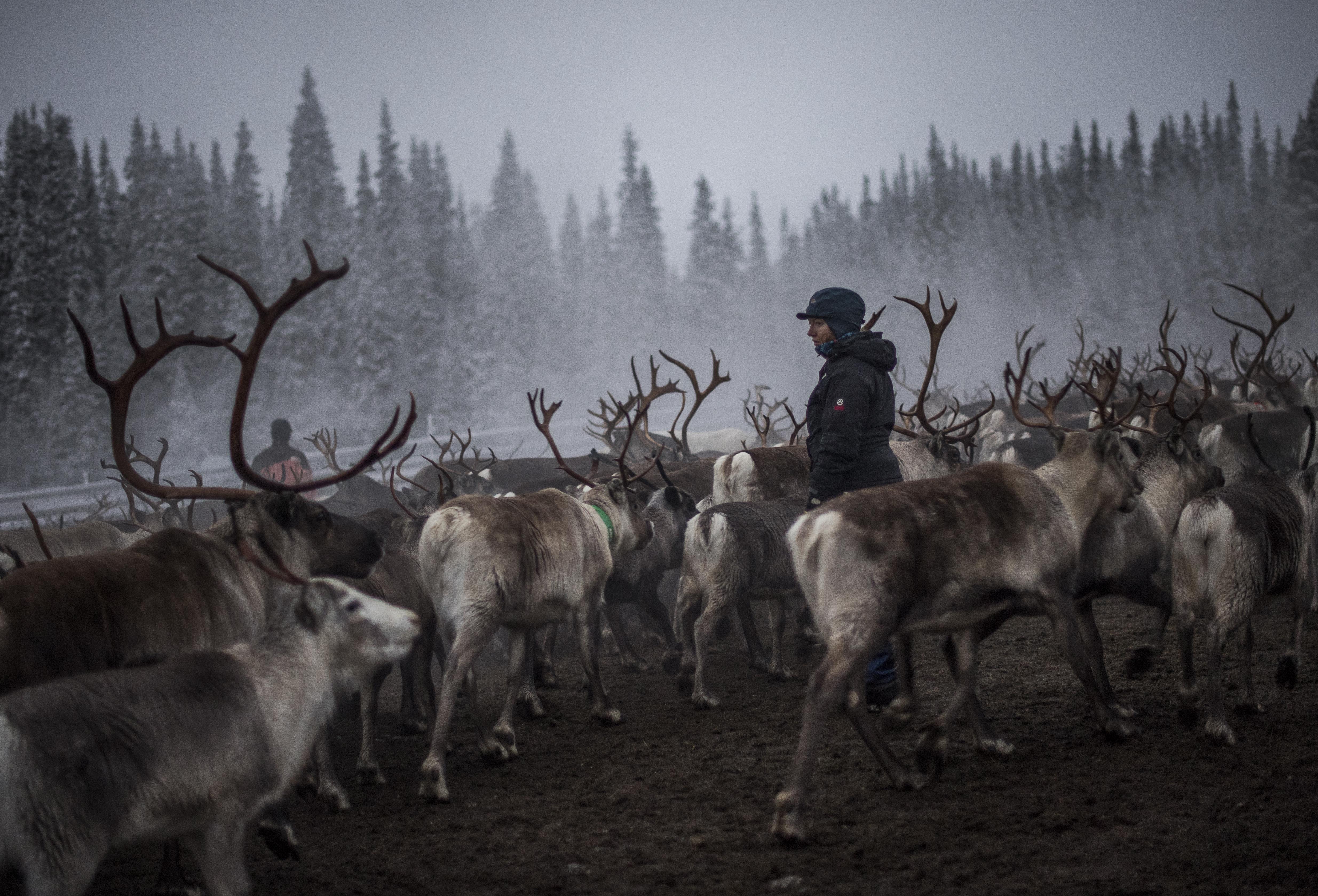 A szokatlanul forró nyár miatt éhezés fenyegeti a svéd rénszarvasokat