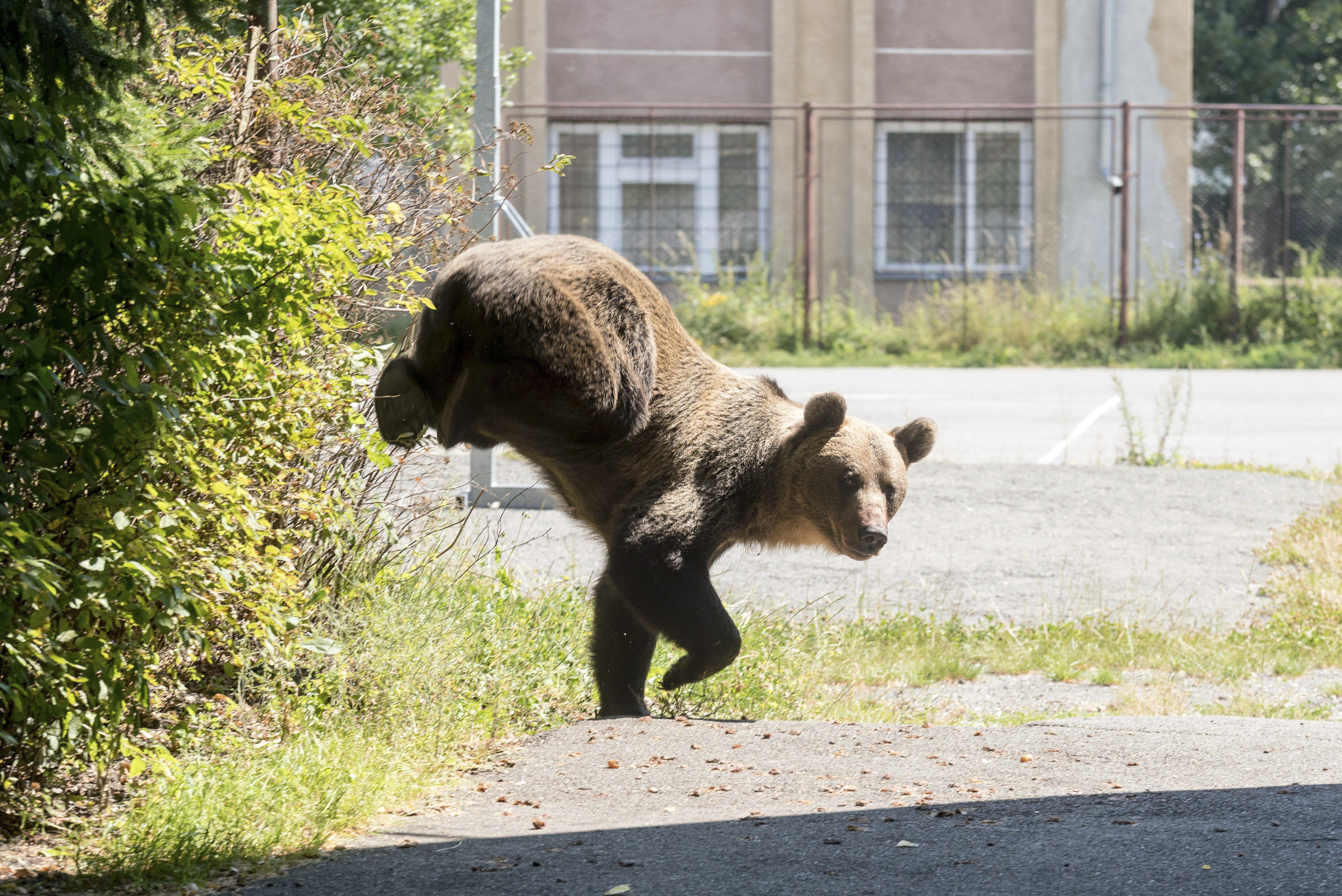 Lakossági fórumokat tartanak az Észak-magyarországi medveveszély miatt