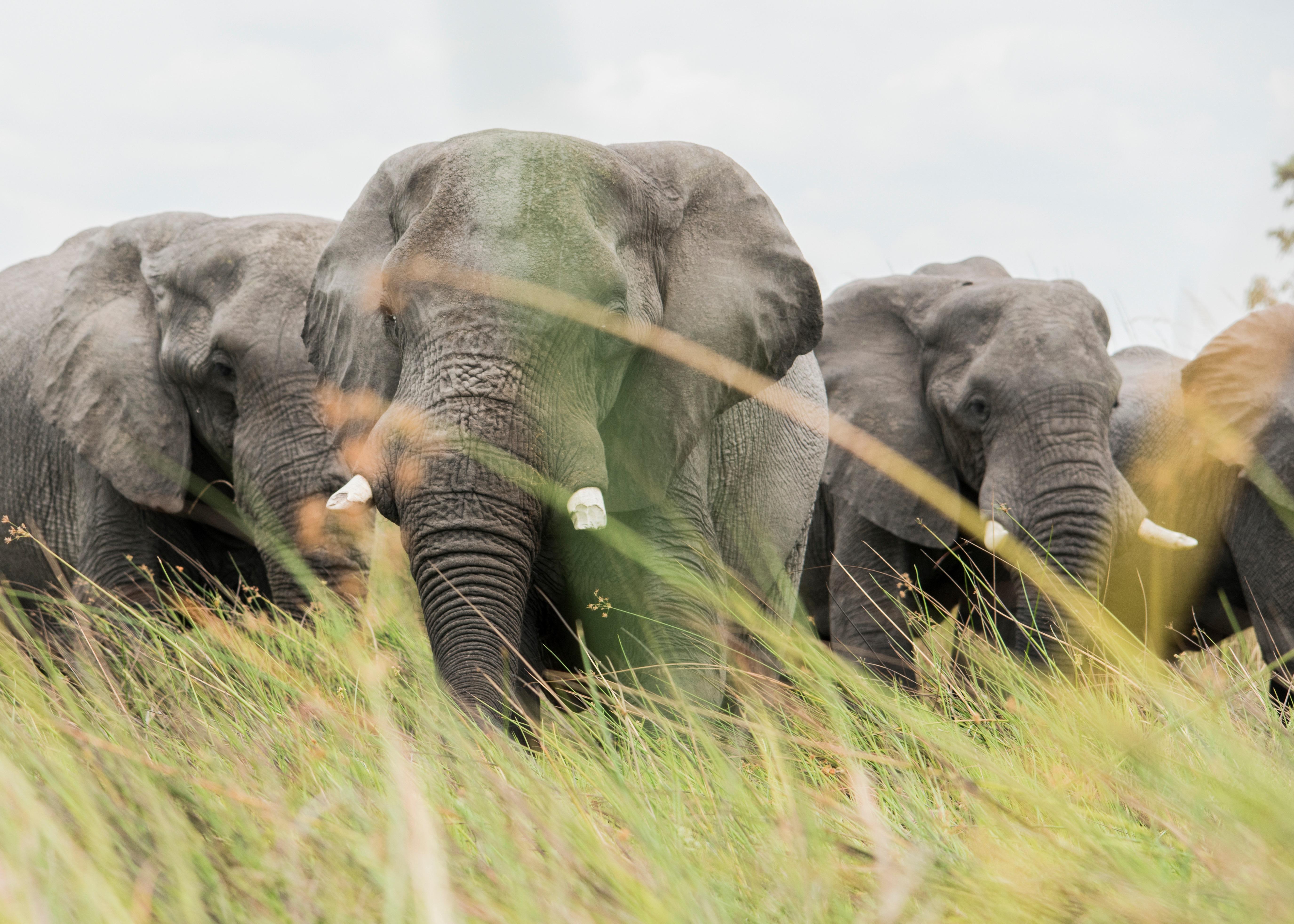Lemészárolt elefántok tucatjaira bukkantak Botswanában