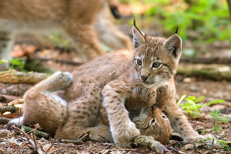 Kisvasút épülhet a Csarna-völgyben, elűzhetik a hiúzokat, ritka állatfajok kerülhetnek veszélybe