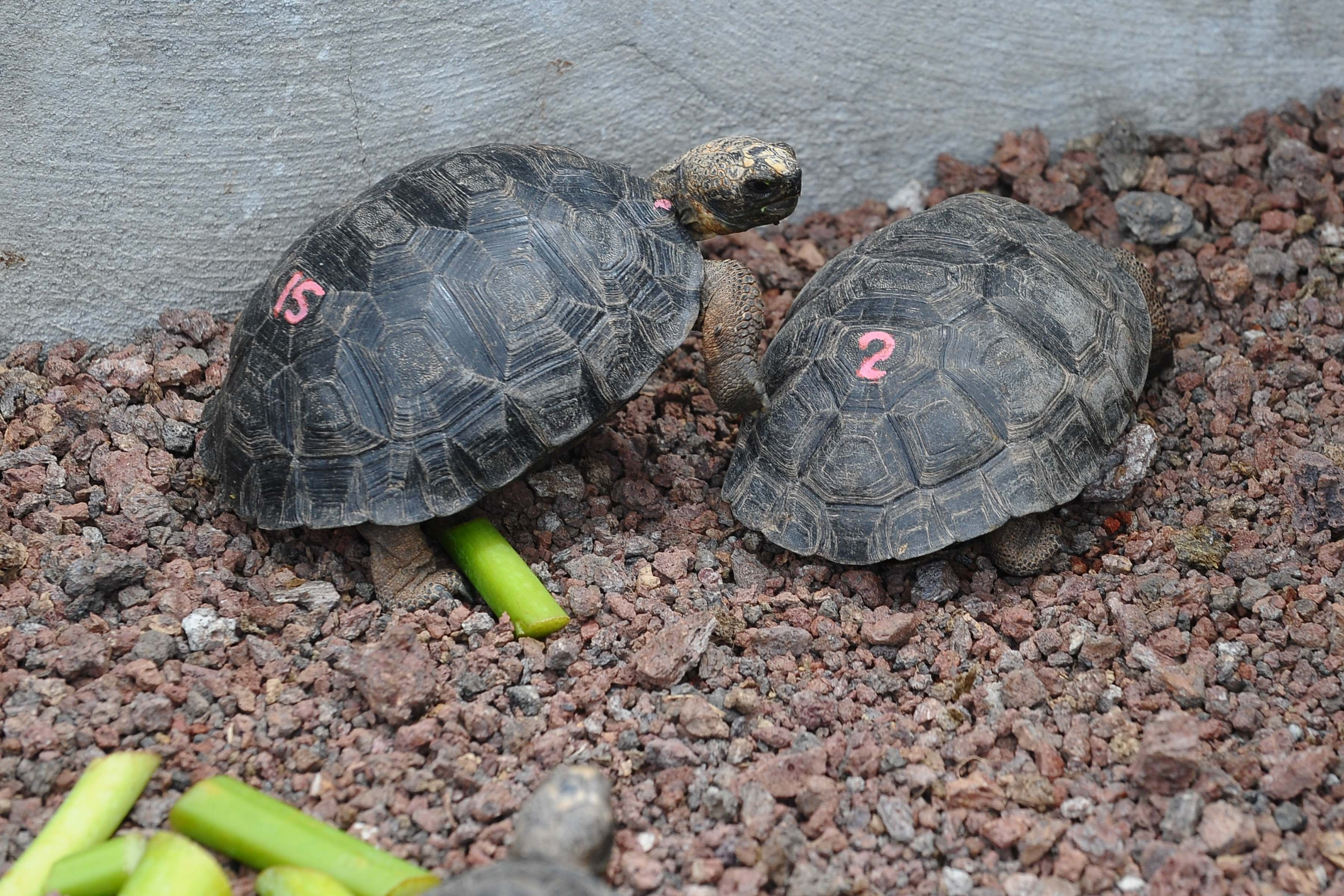 Több mint 100 teknősfiókát loptak el a Galápagos-szigetekről