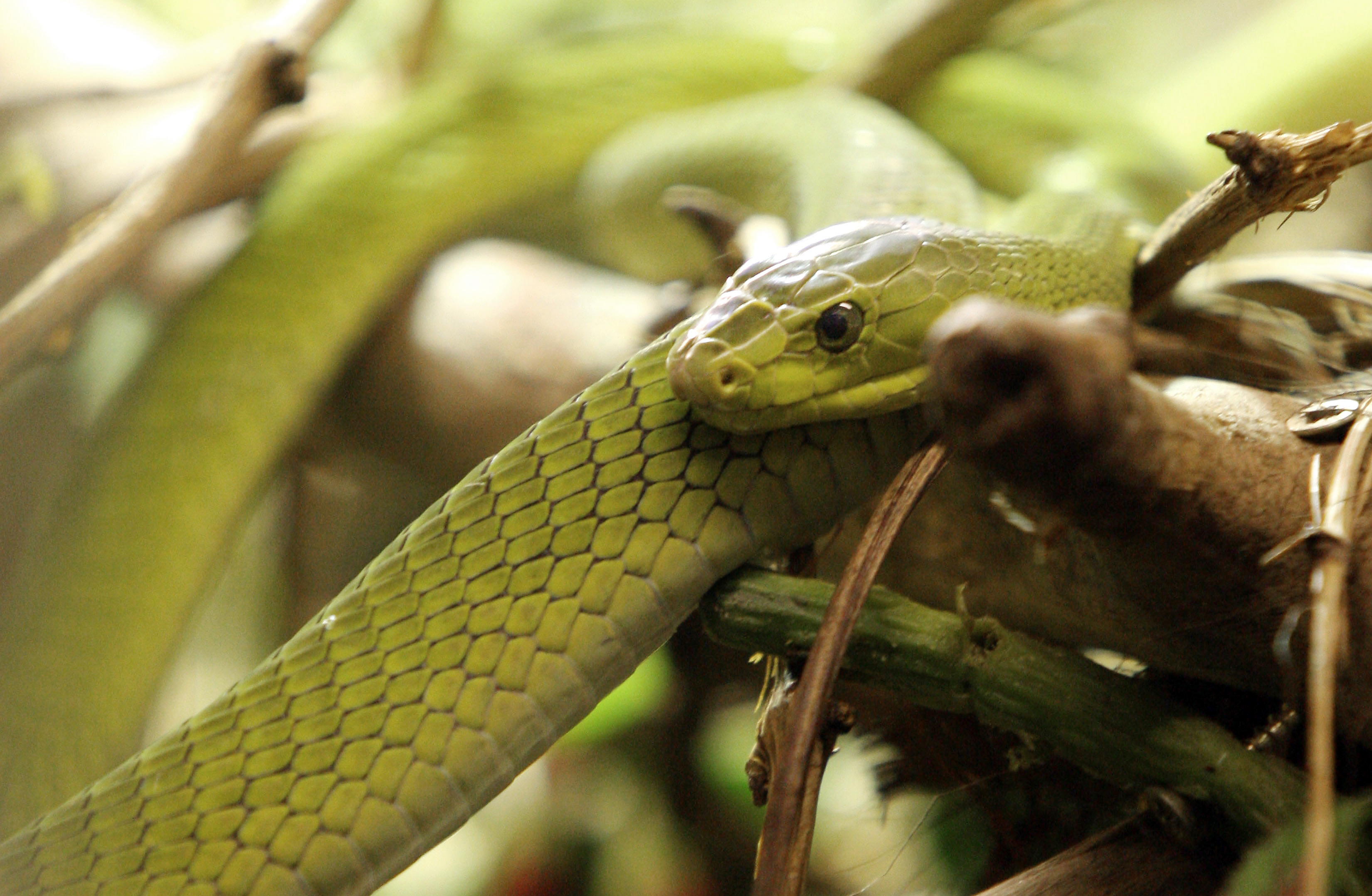Elkapták a Prágában elszabadult zöld mambát