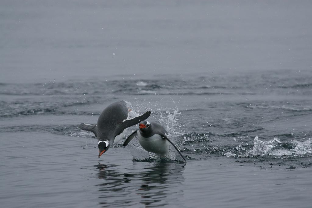 Sydneyben tojást adtak az állatkerti gondozók egy meleg szamárpingvin-párnak